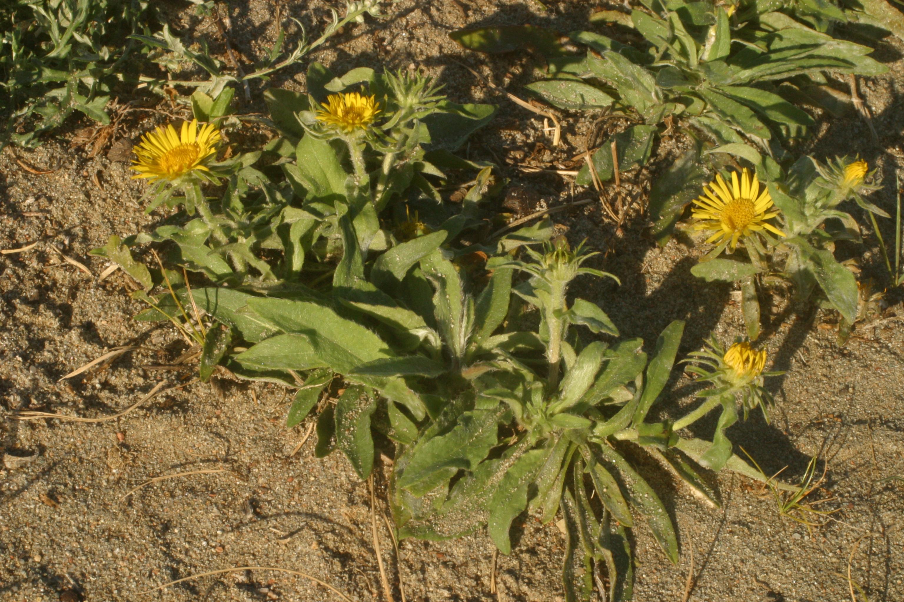 view image: Inula britannica L.