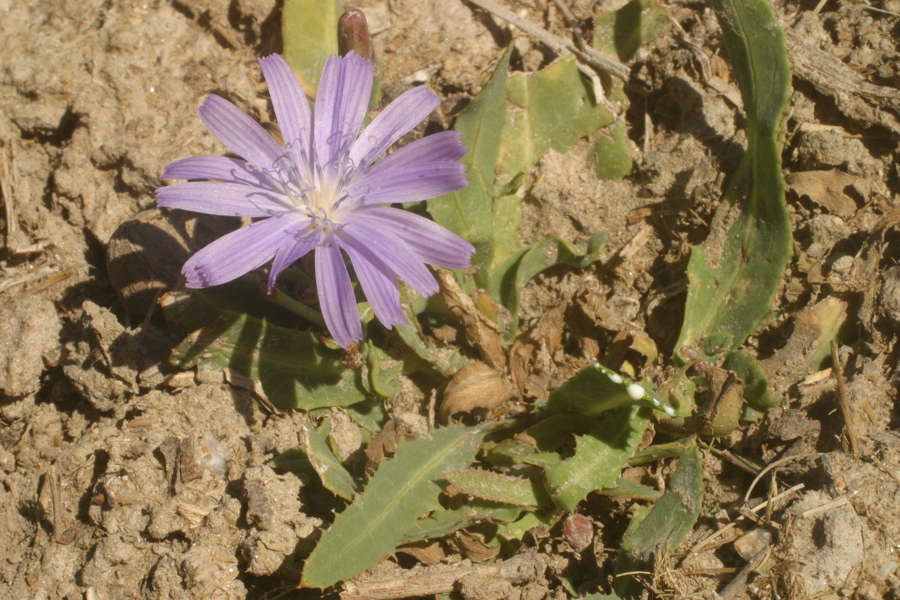 view image: Lactuca tatarica (L.) C. A. Mey.