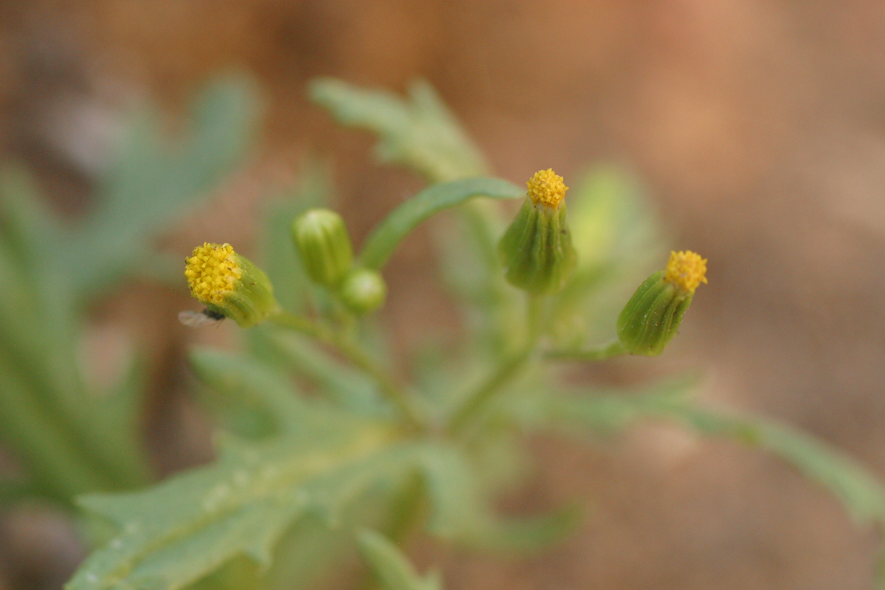 view image: Senecio vulgaris L.