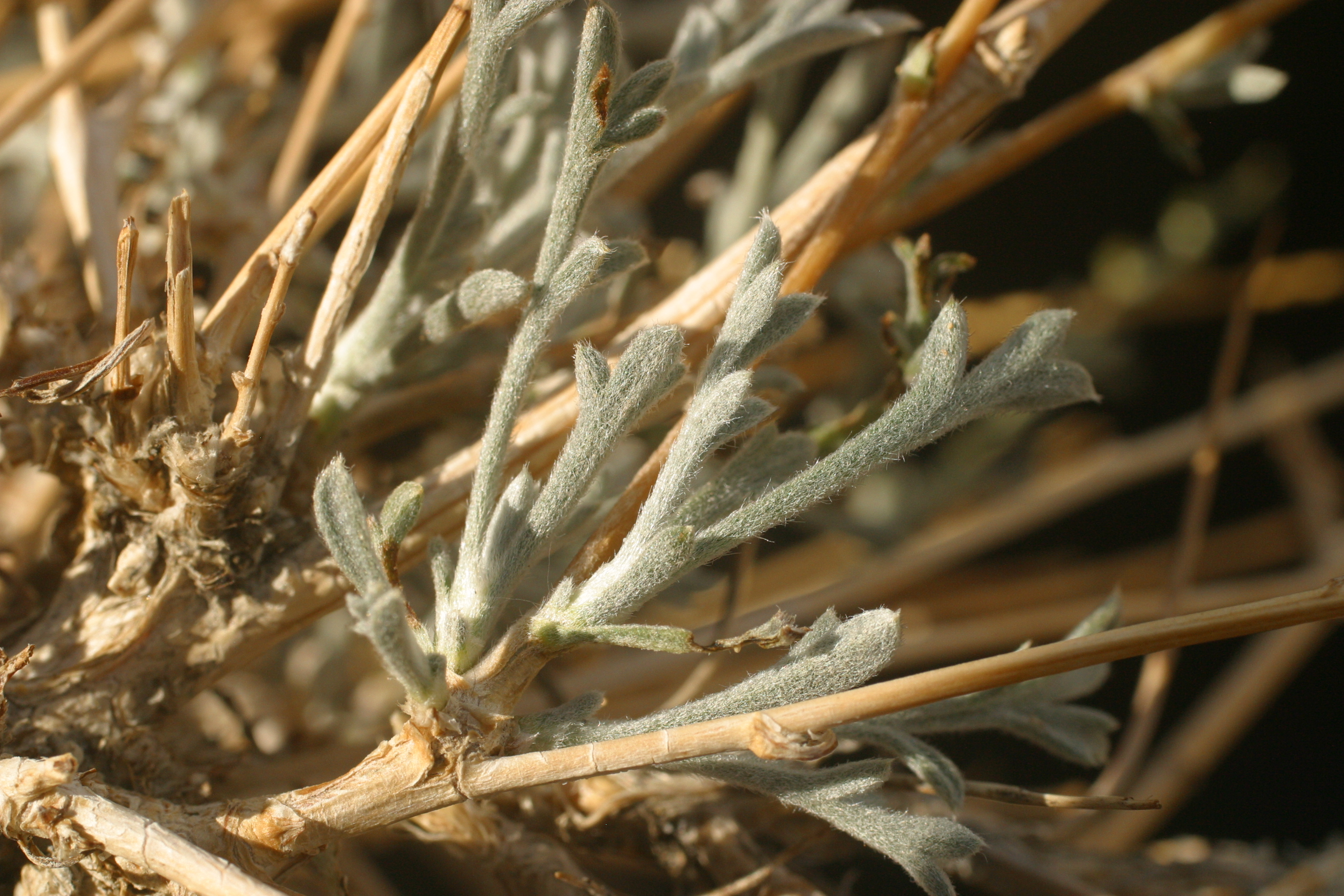 view image: Artemisia globosa Krasch.