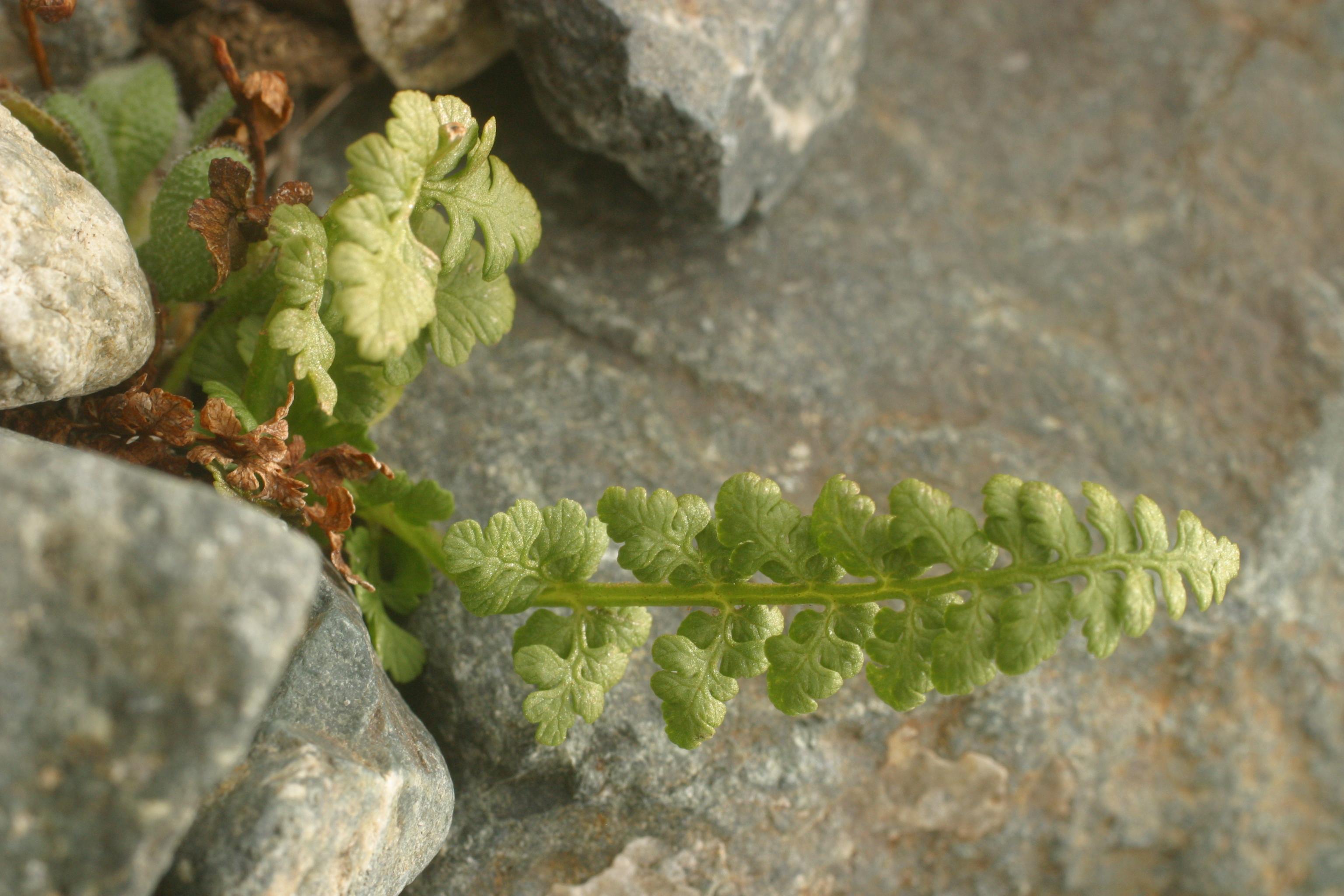 view image: Cystopteris fragilis (L.) Bernh.