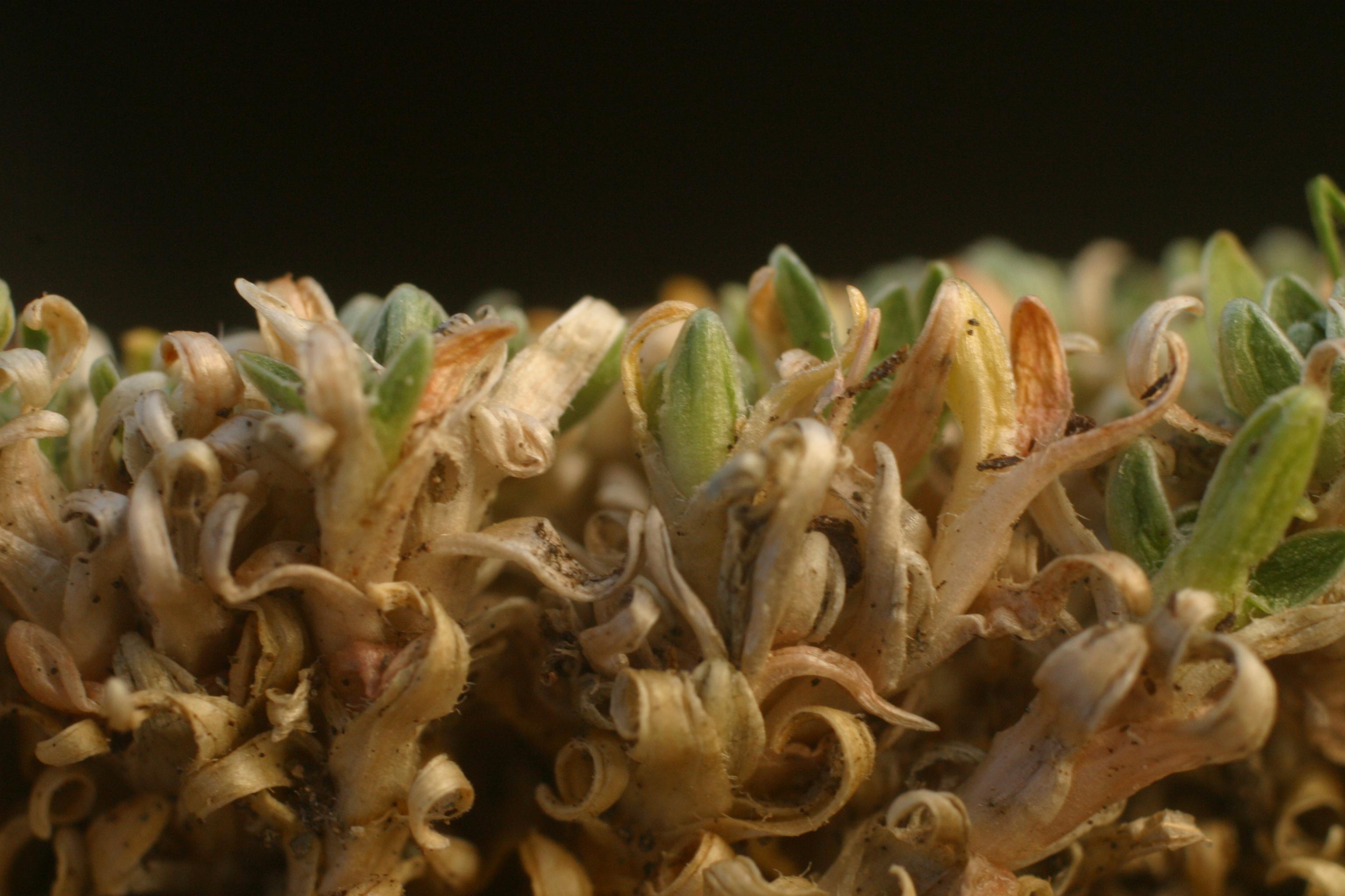 view image: Stellaria pulvinata Grub.
