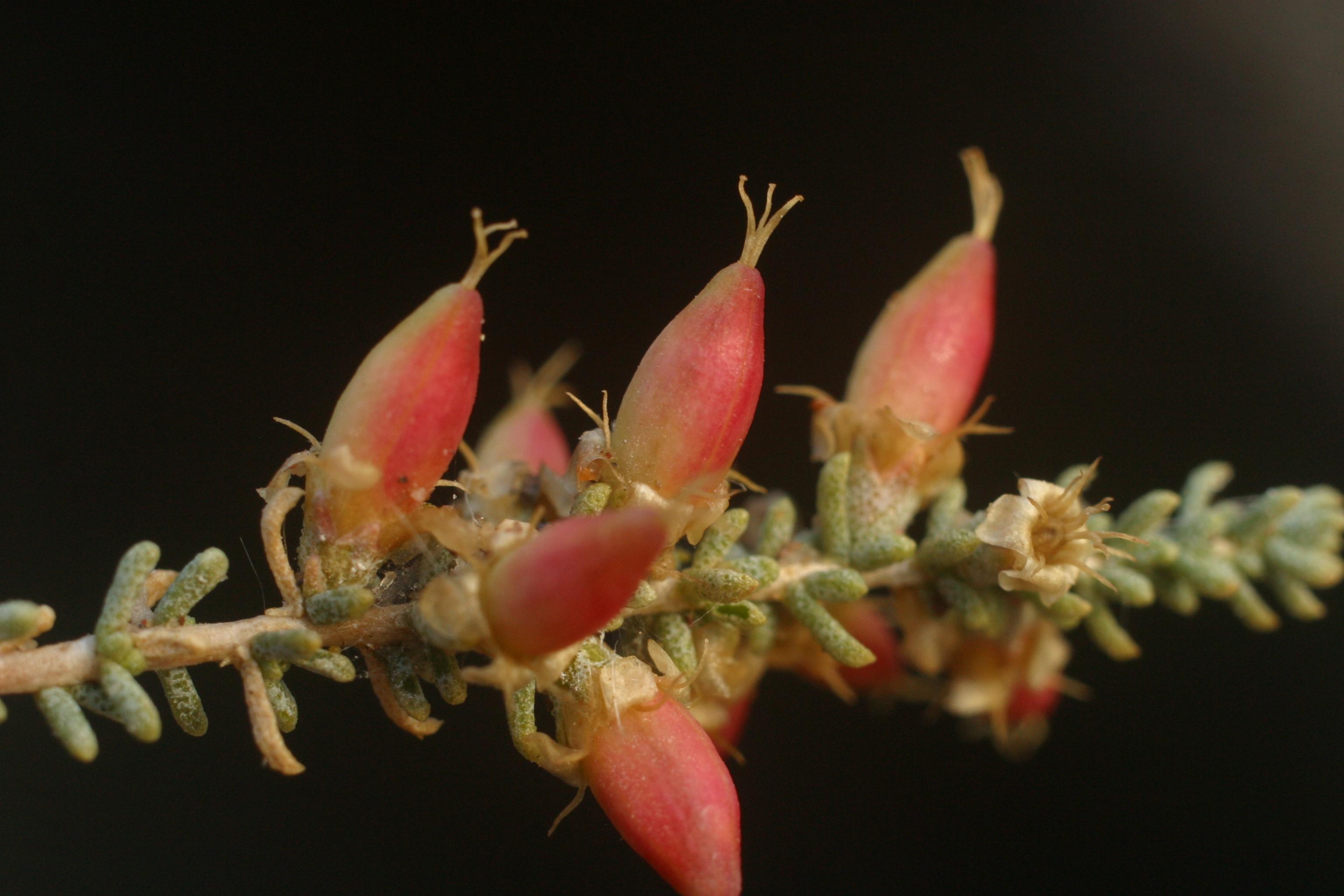 view image: Reaumuria soongarica (Pall.) Maxim.