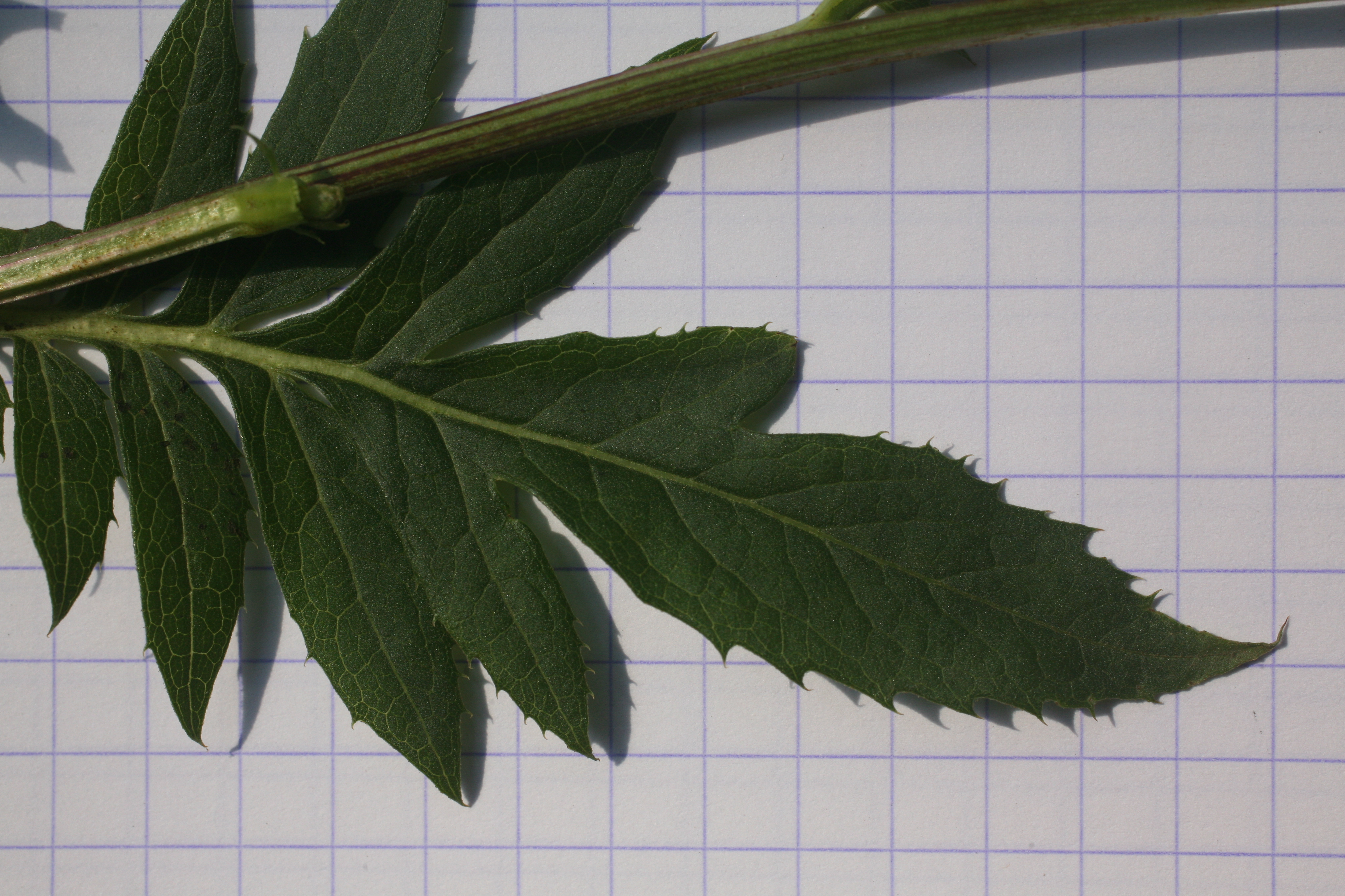 view image: Serratula coronata L.