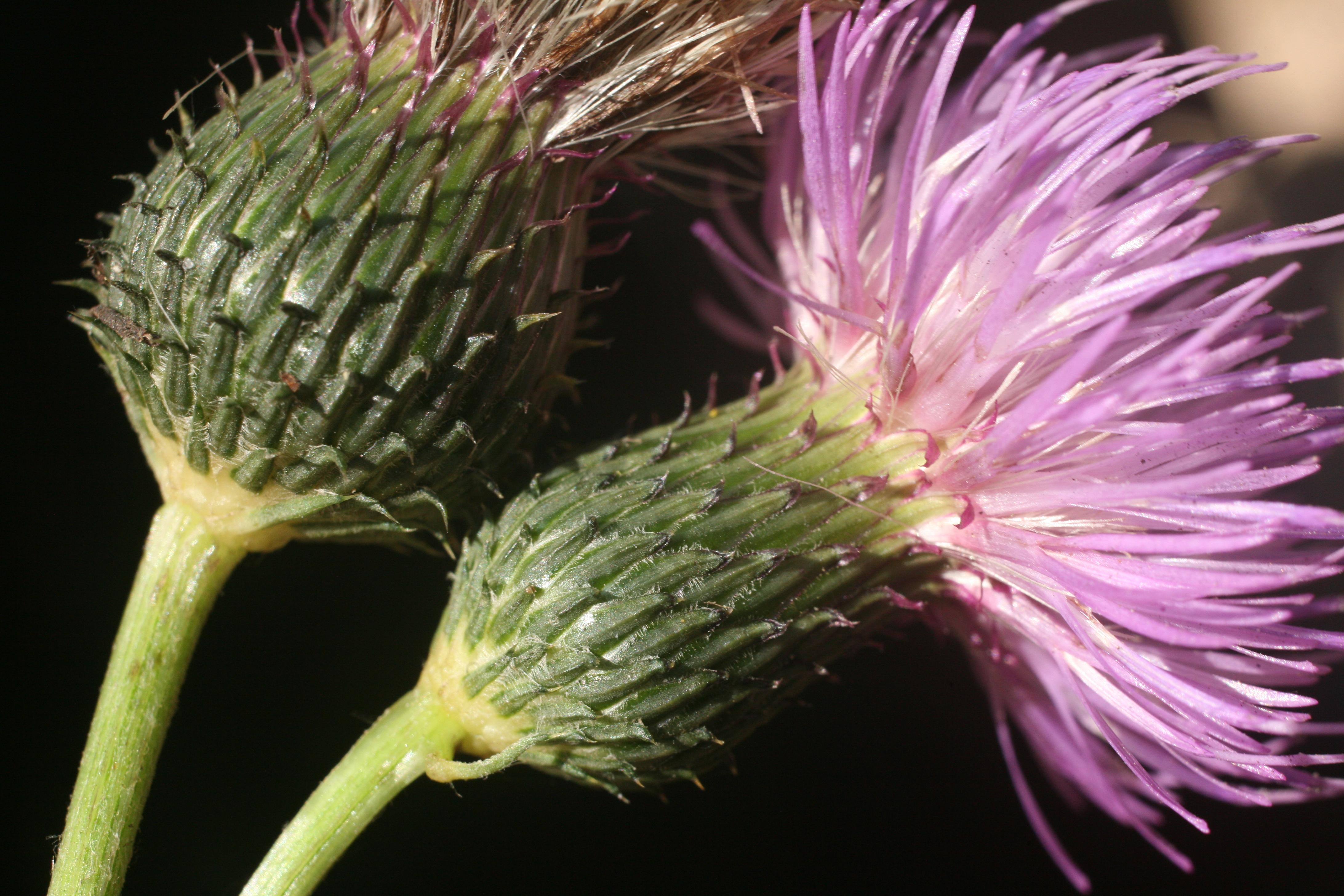 view image: Cirsium serratuloides (L.) Hill