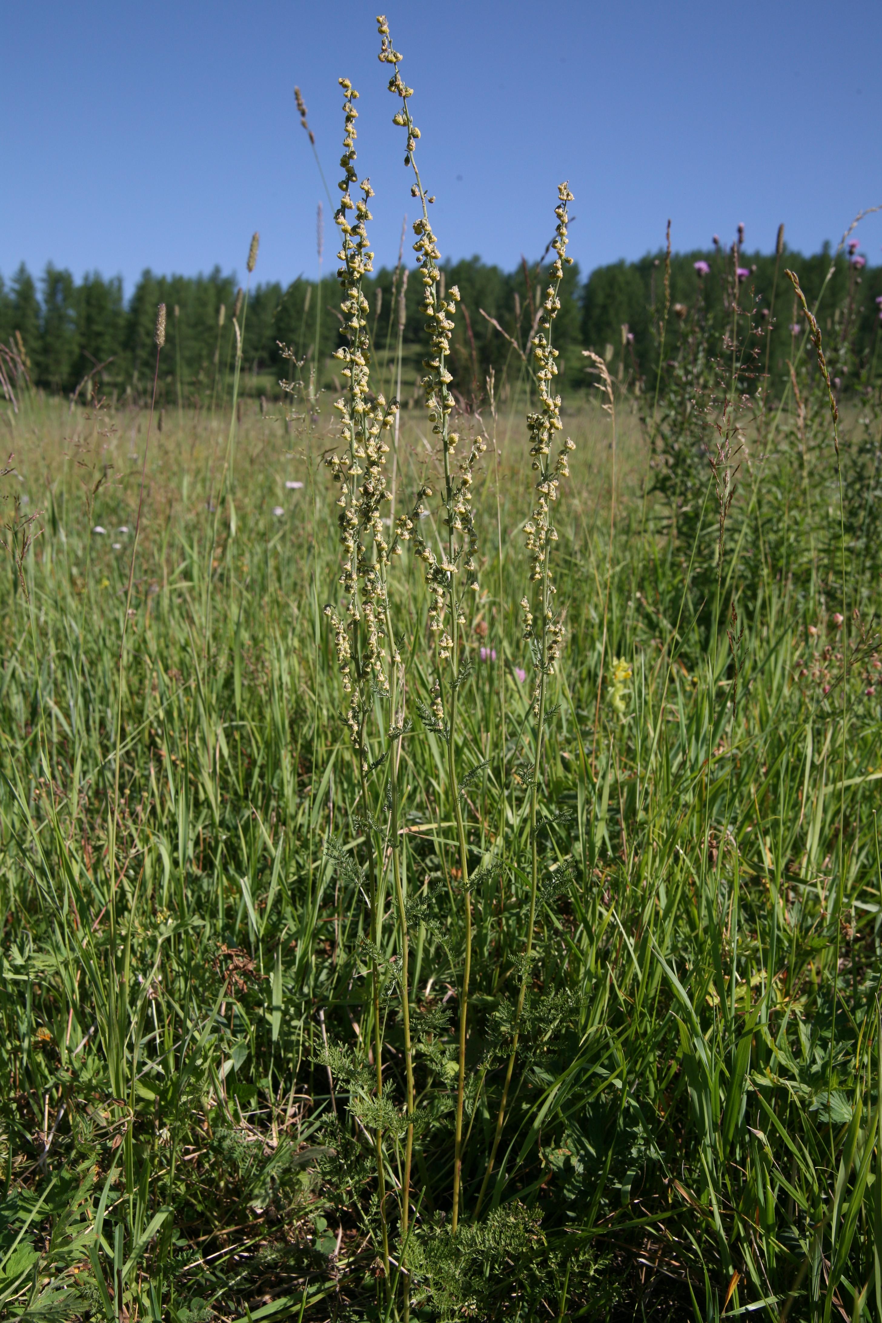 view image: Artemisia laciniata Willd.
