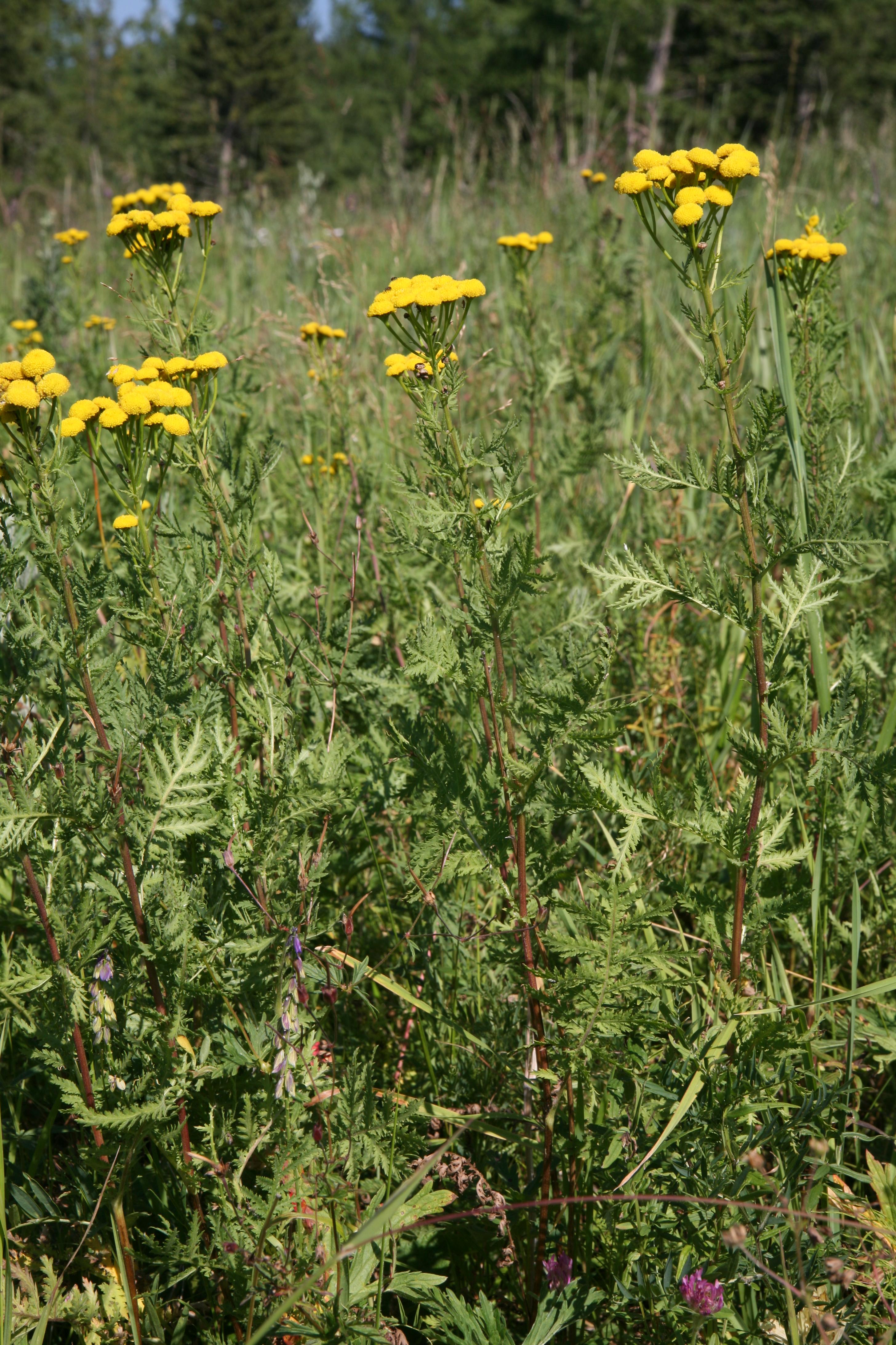 view image: Tanacetum vulgare L.