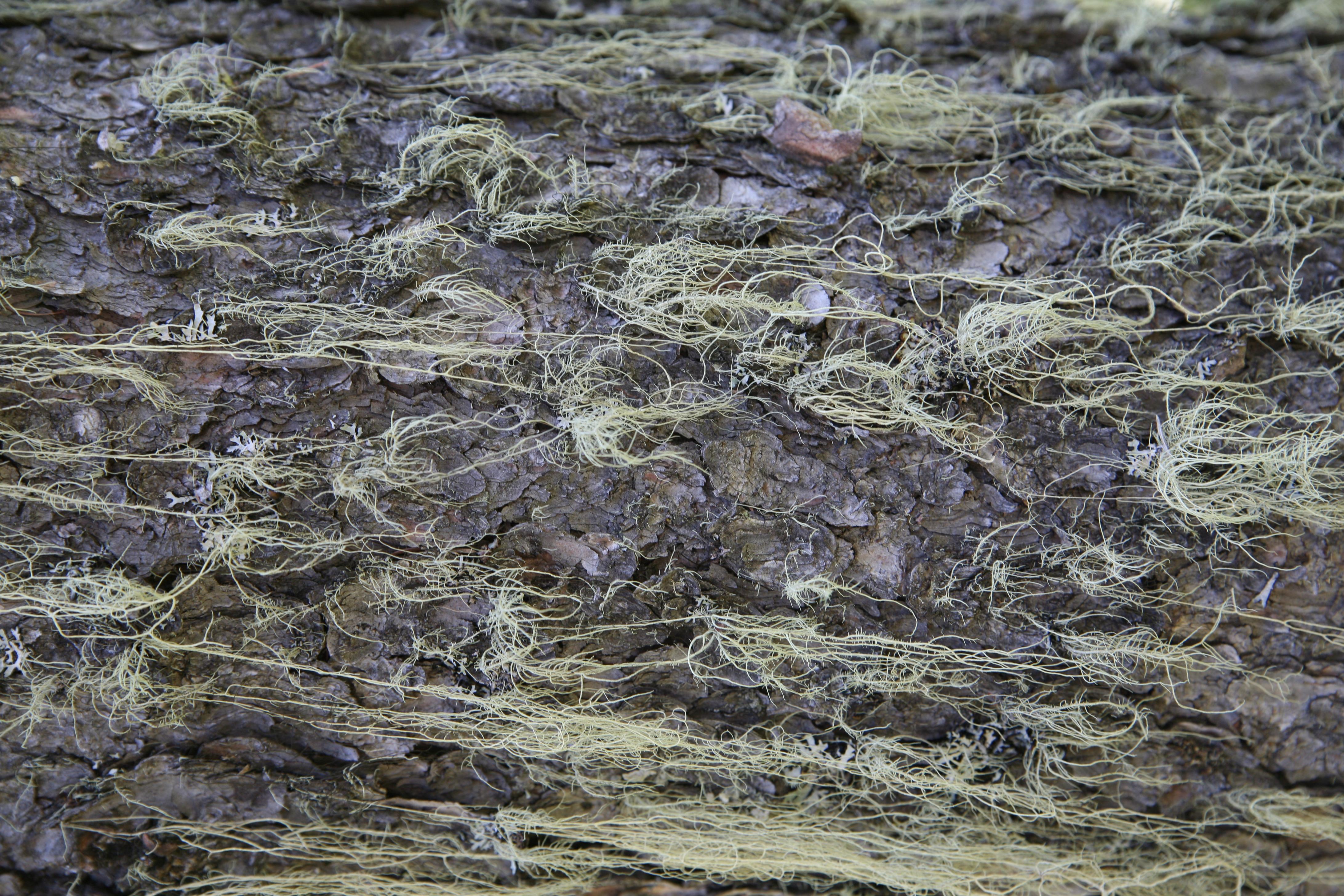 view image: Picea obovata Ledeb.