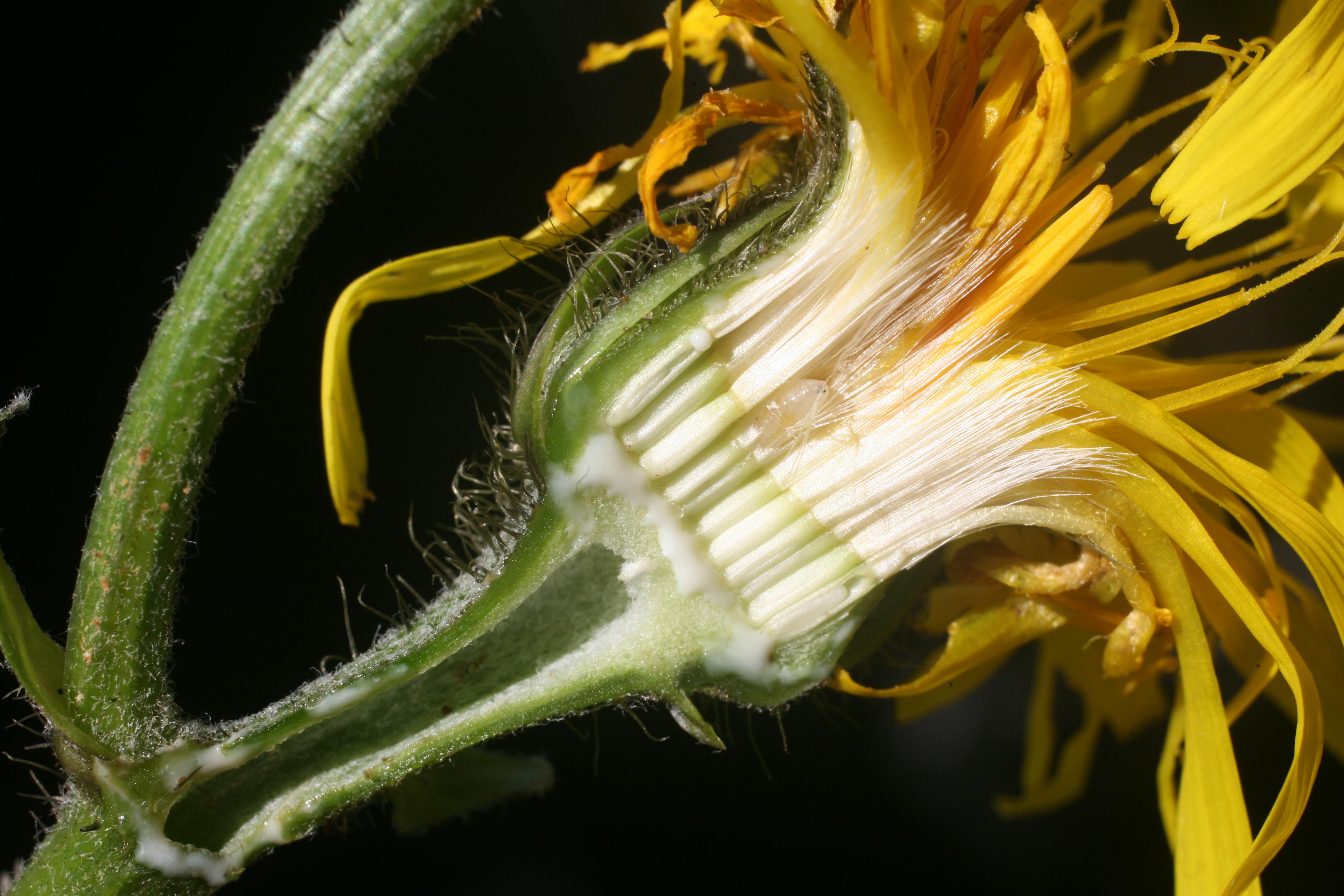 view image: Crepis sibirica L.