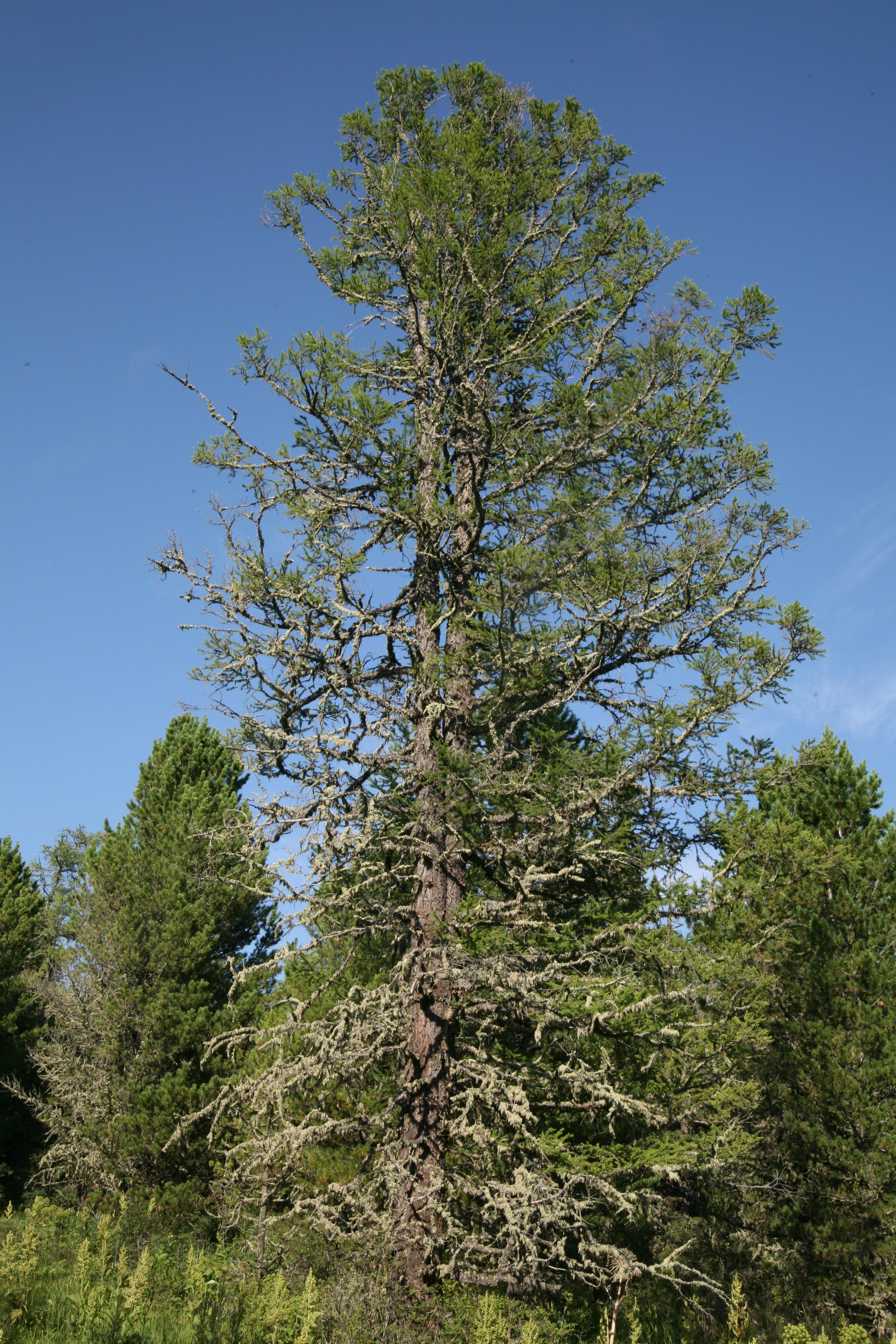 view image: Pinus sibirica Du Tour