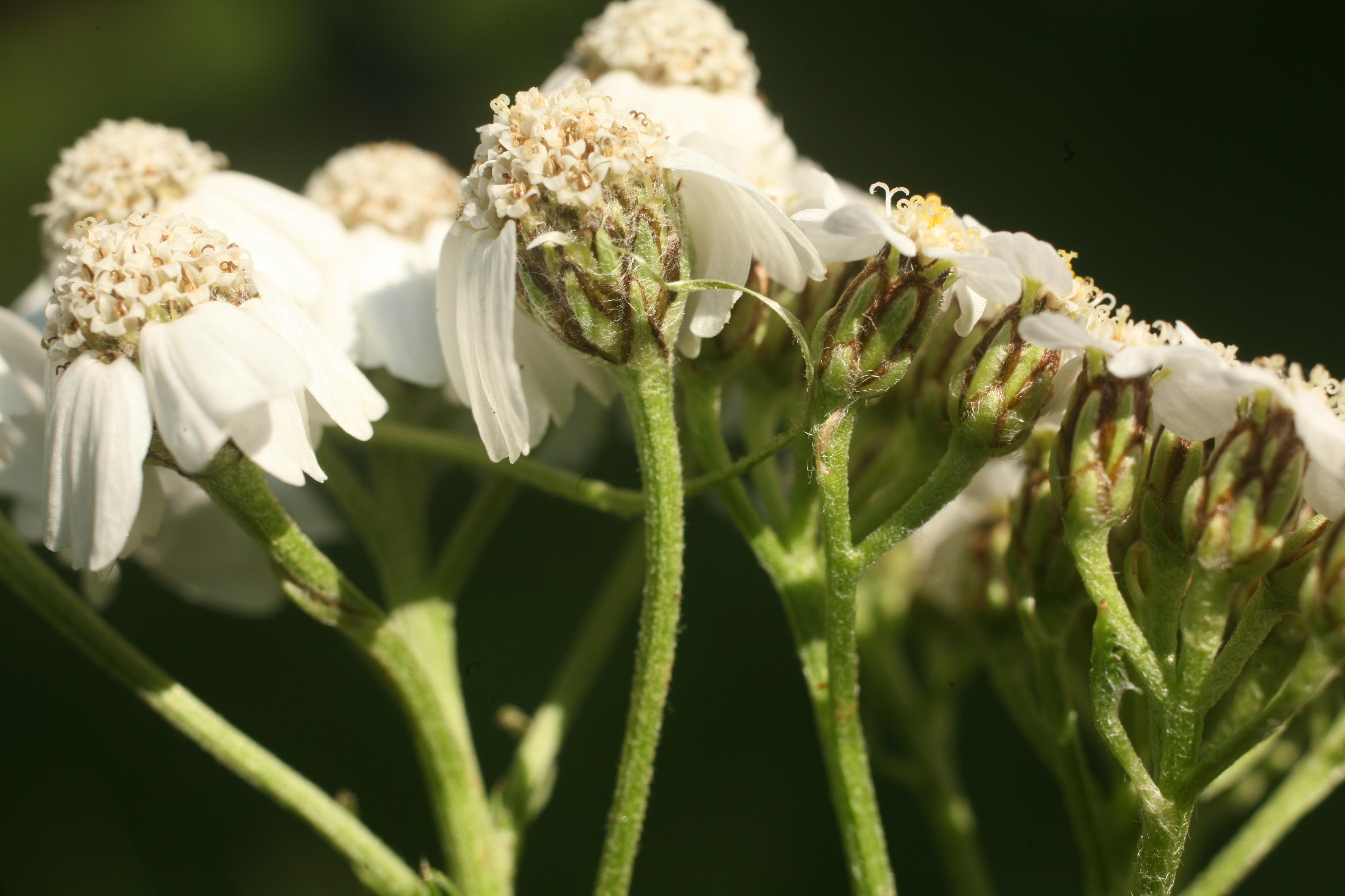 view image: Achillea asiatica Serg.
