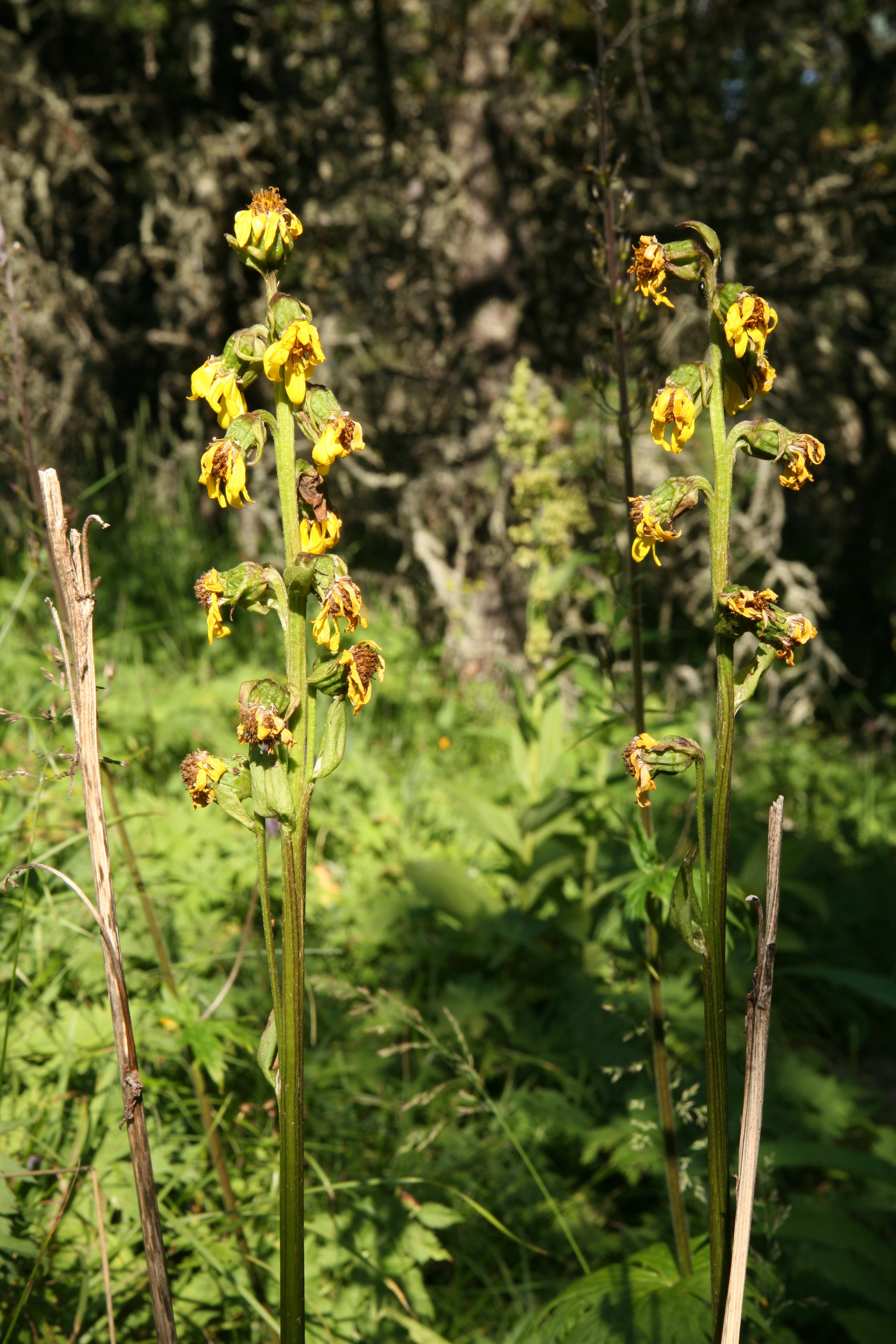 view image: Ligularia sibirica (L.) Cass.
