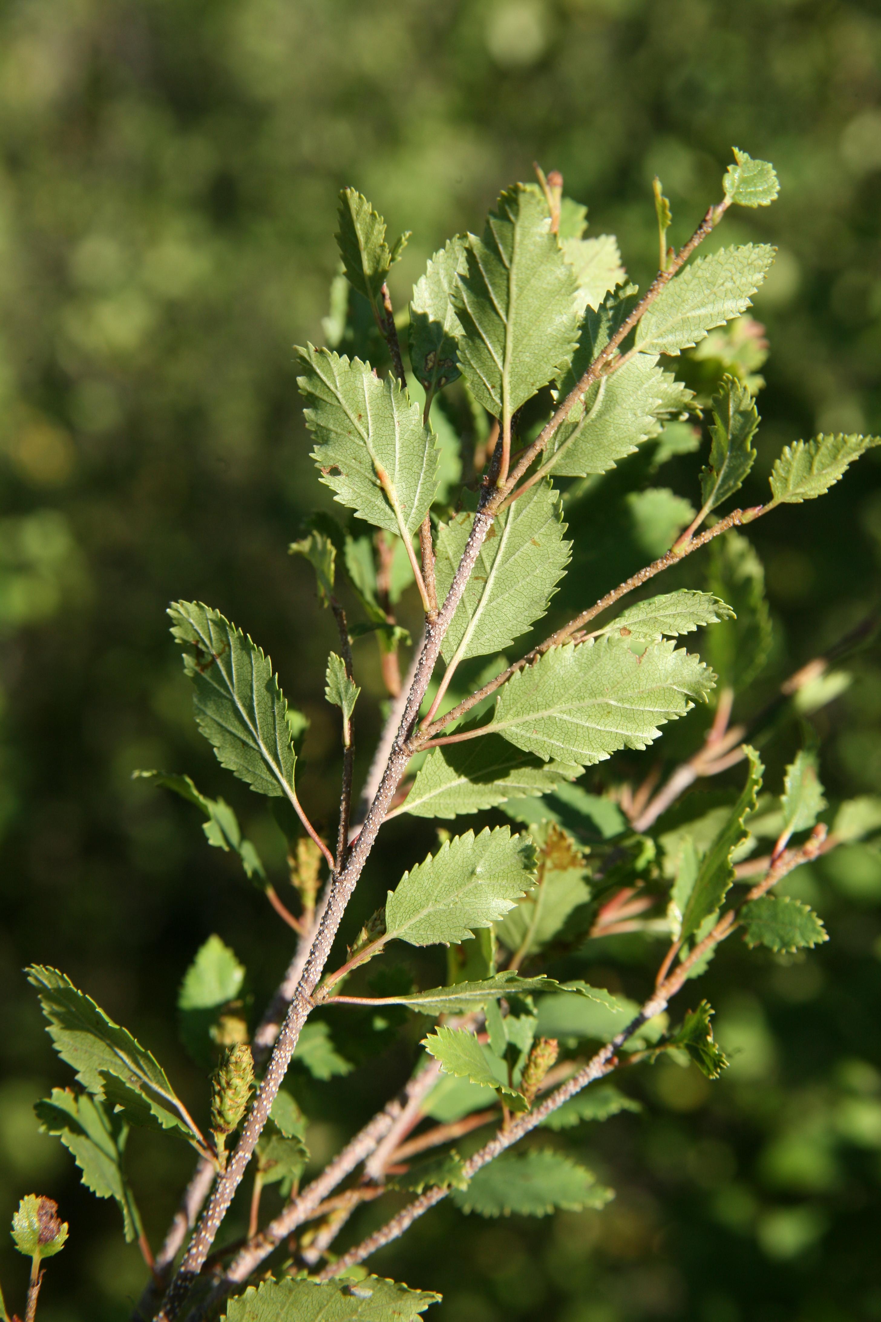 view image: Betula fruticosa Pall.