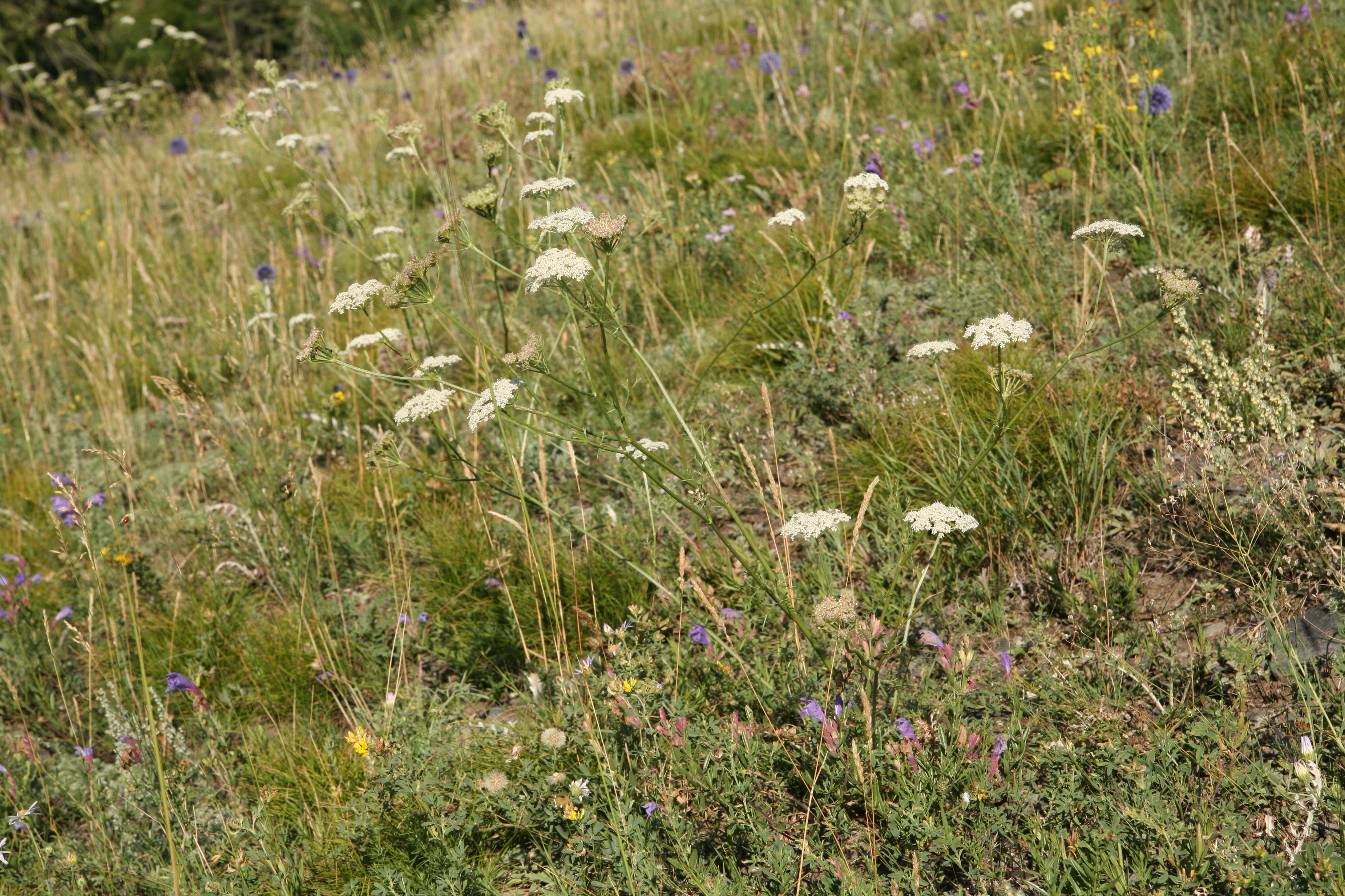 view image: Kitagawia baicalensis (Redow. ex Willd.) Pimenov
