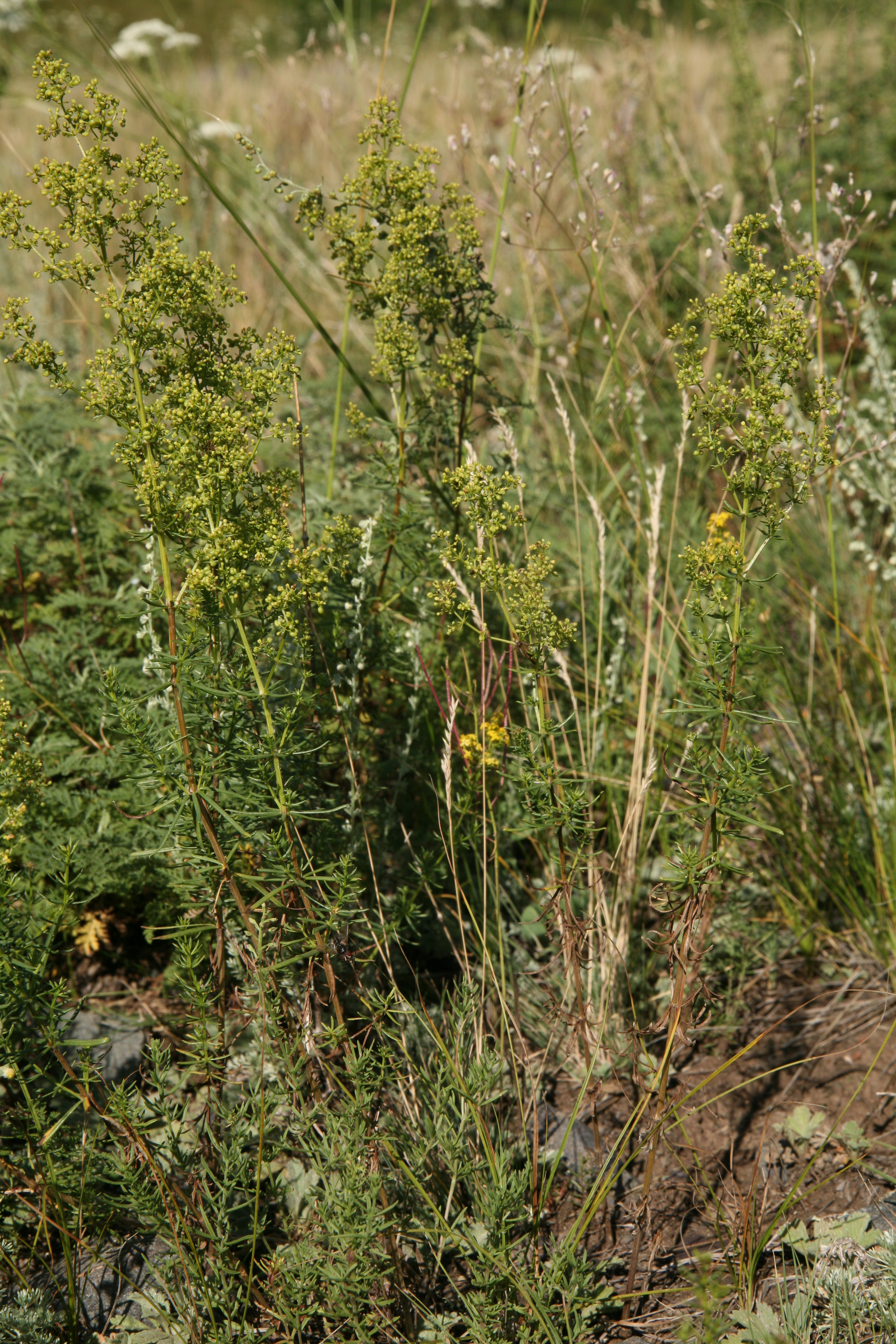 view image: Galium verum L.