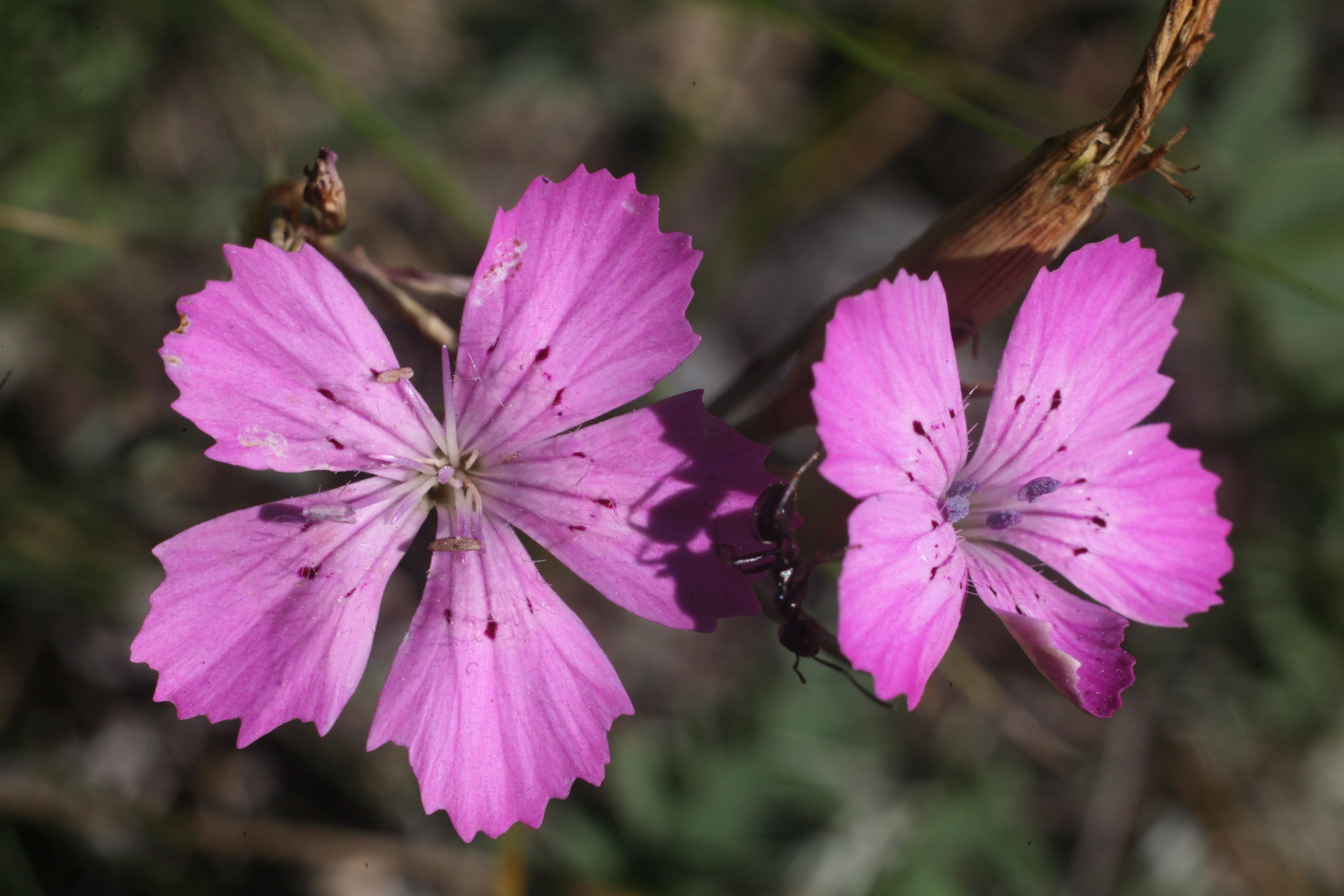 view image: Dianthus versicolor Fisch. ex Link