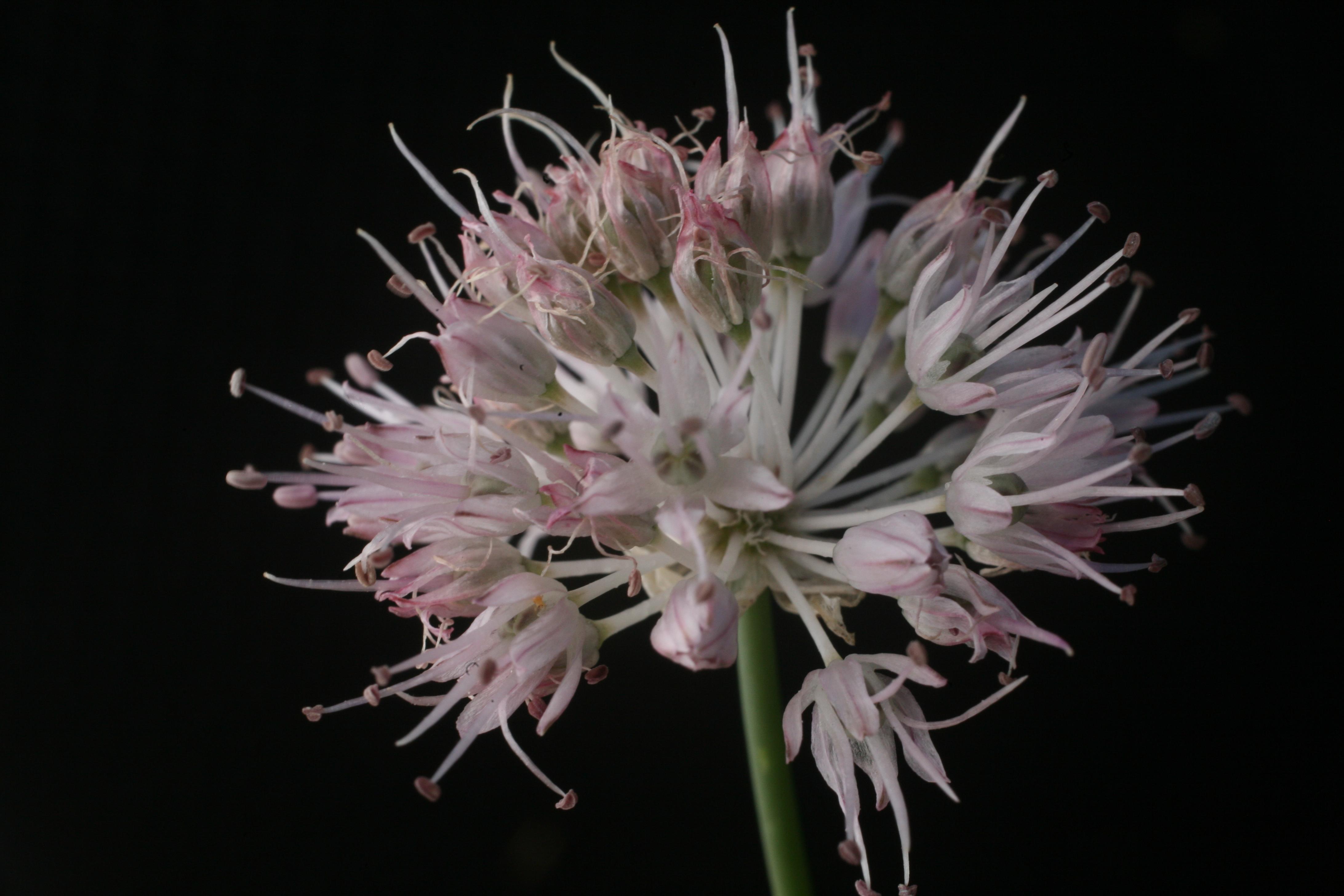 view image: Allium clathratum Ledeb.
