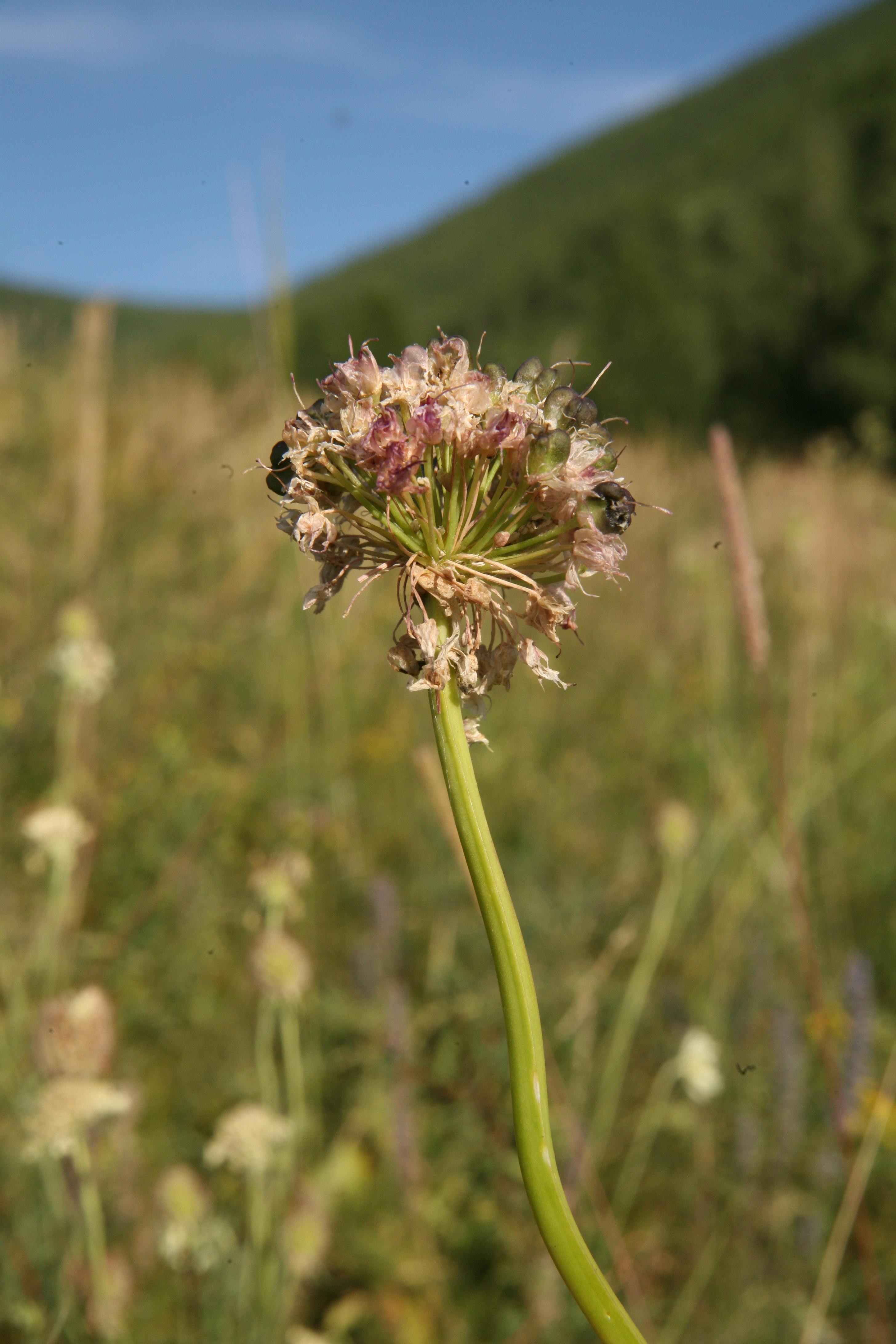 view image: Allium senescens