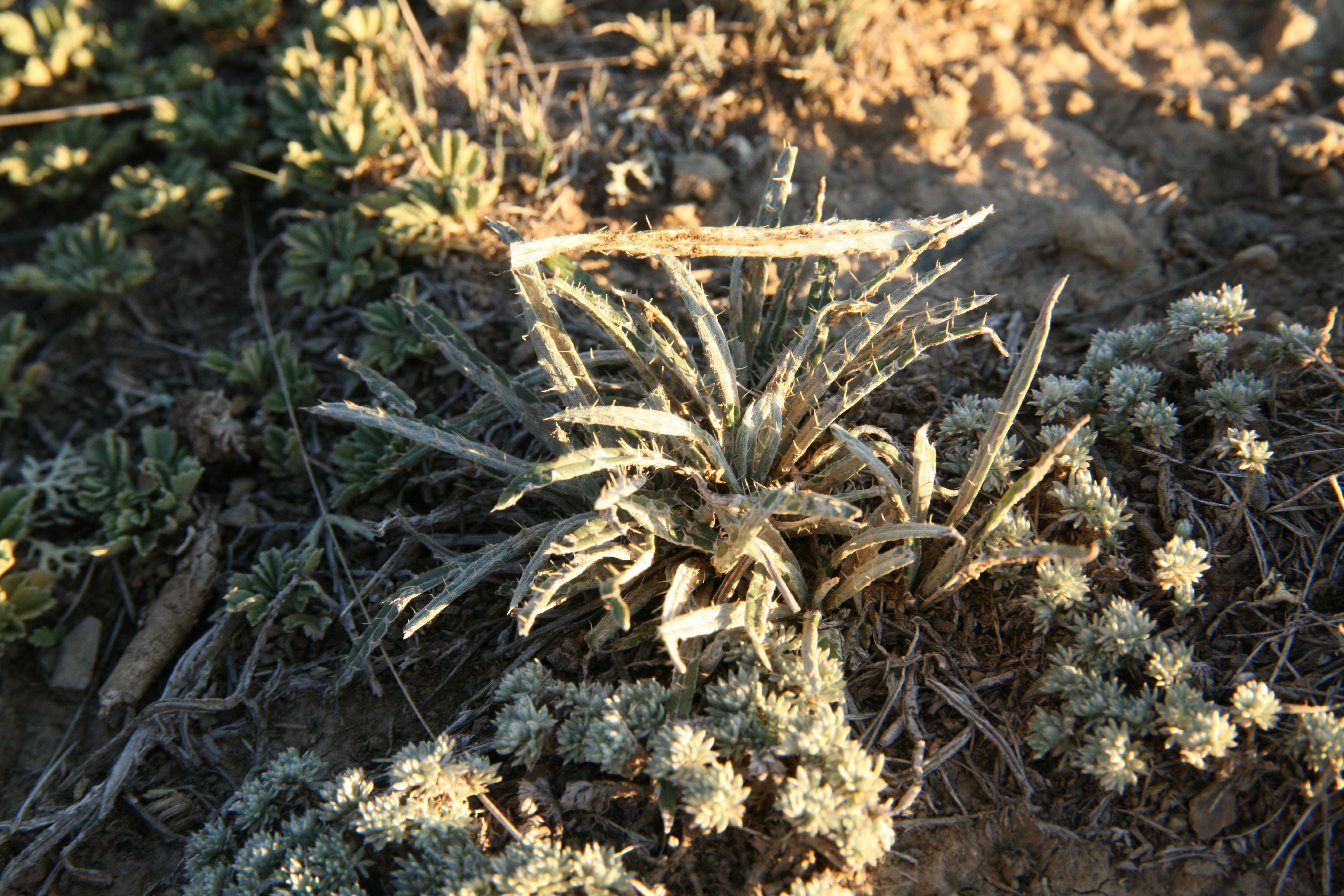 view image: Ancathia igniaria (Spreng.) DC.