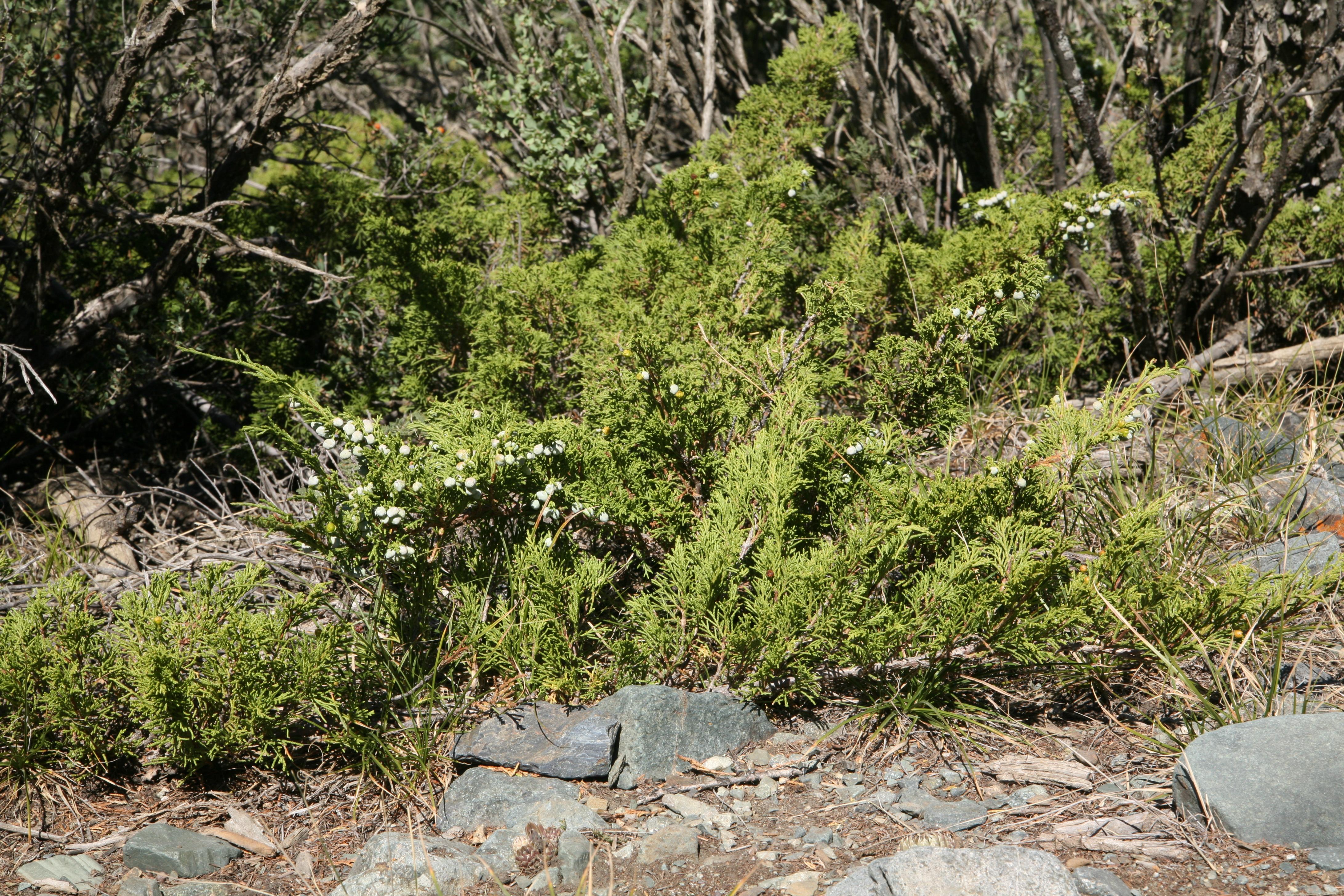 view image: Juniperus sabina L.
