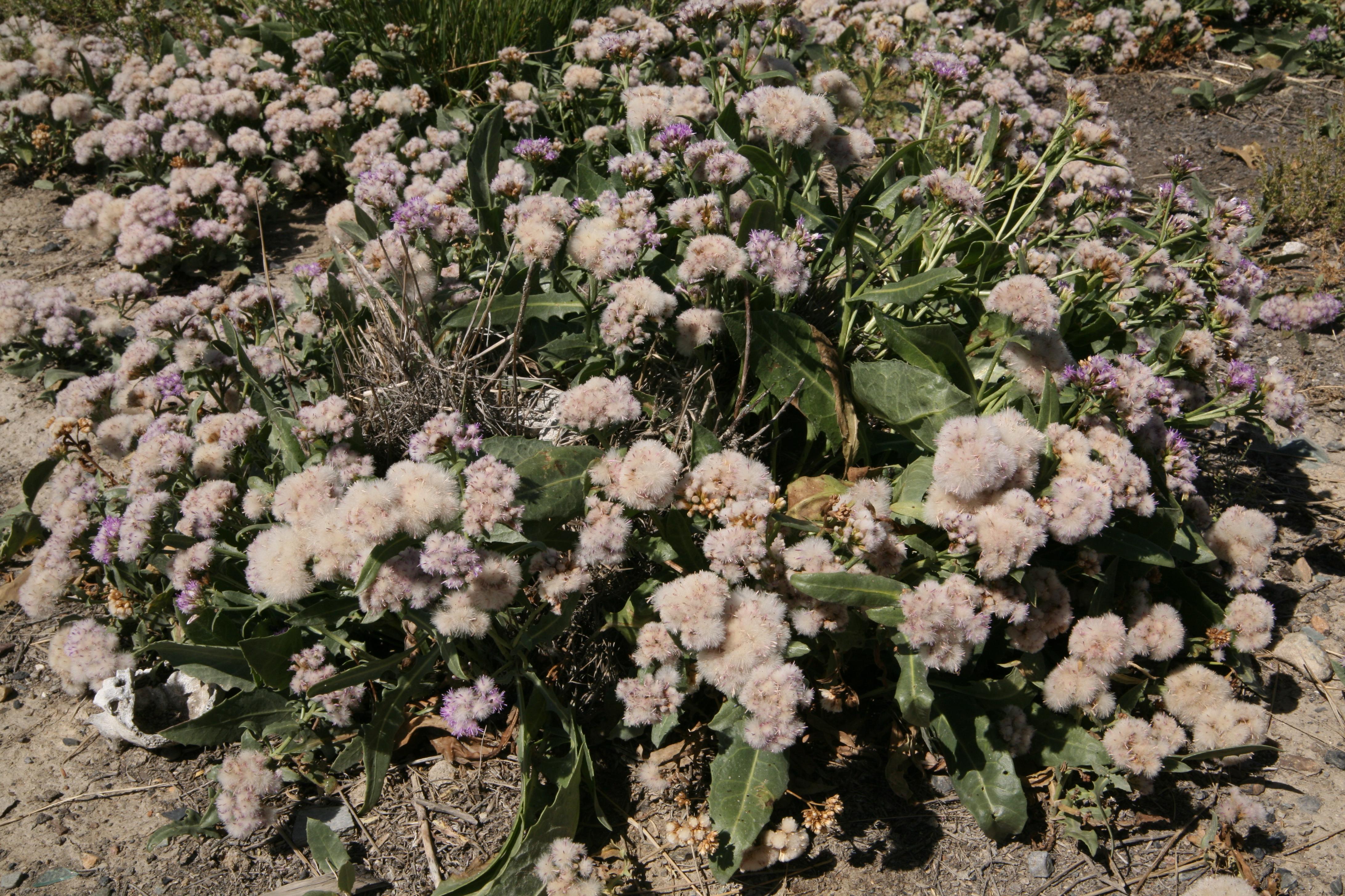 view image: Saussurea daurica Adams