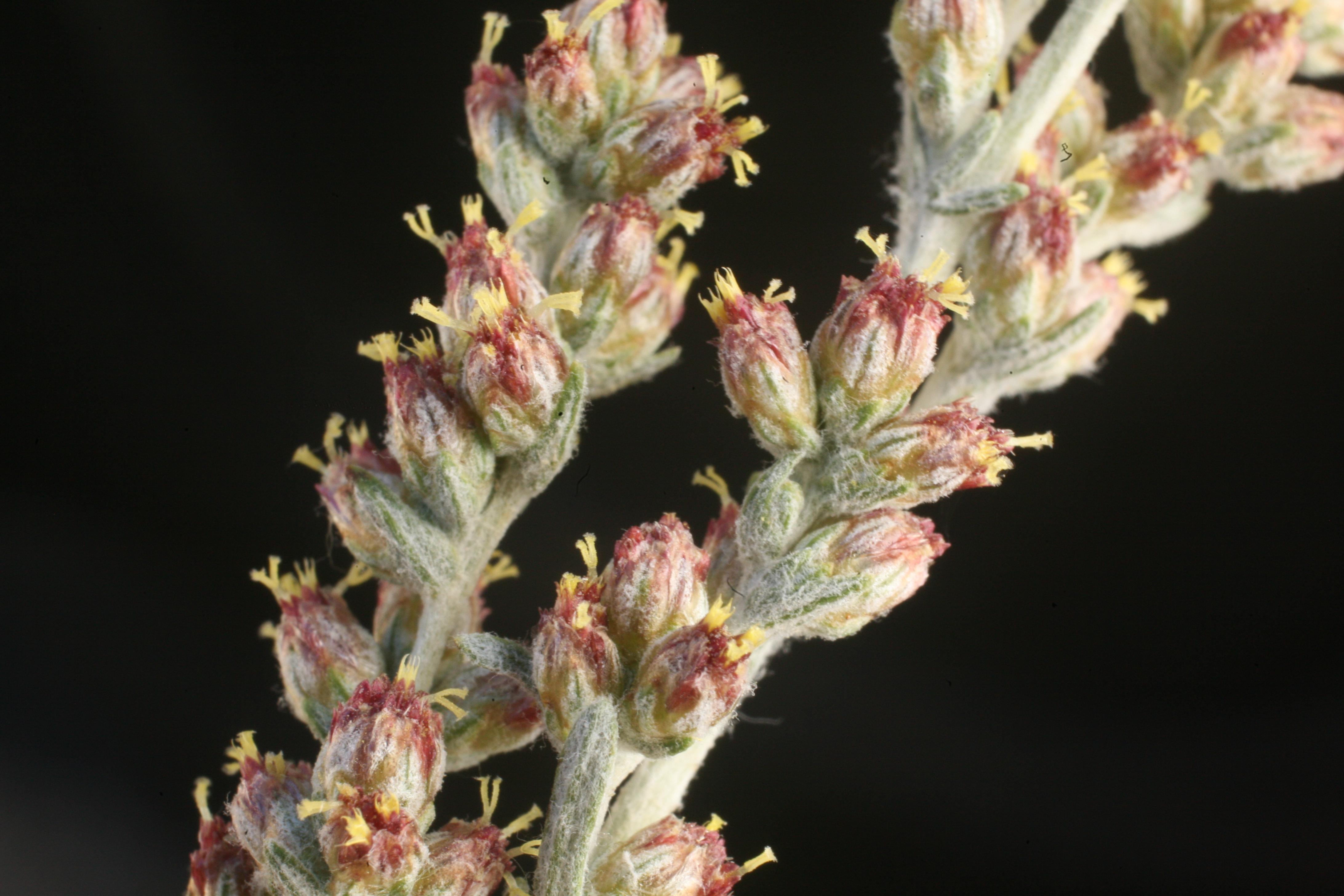 view image: Artemisia schrenkiana Ledeb.