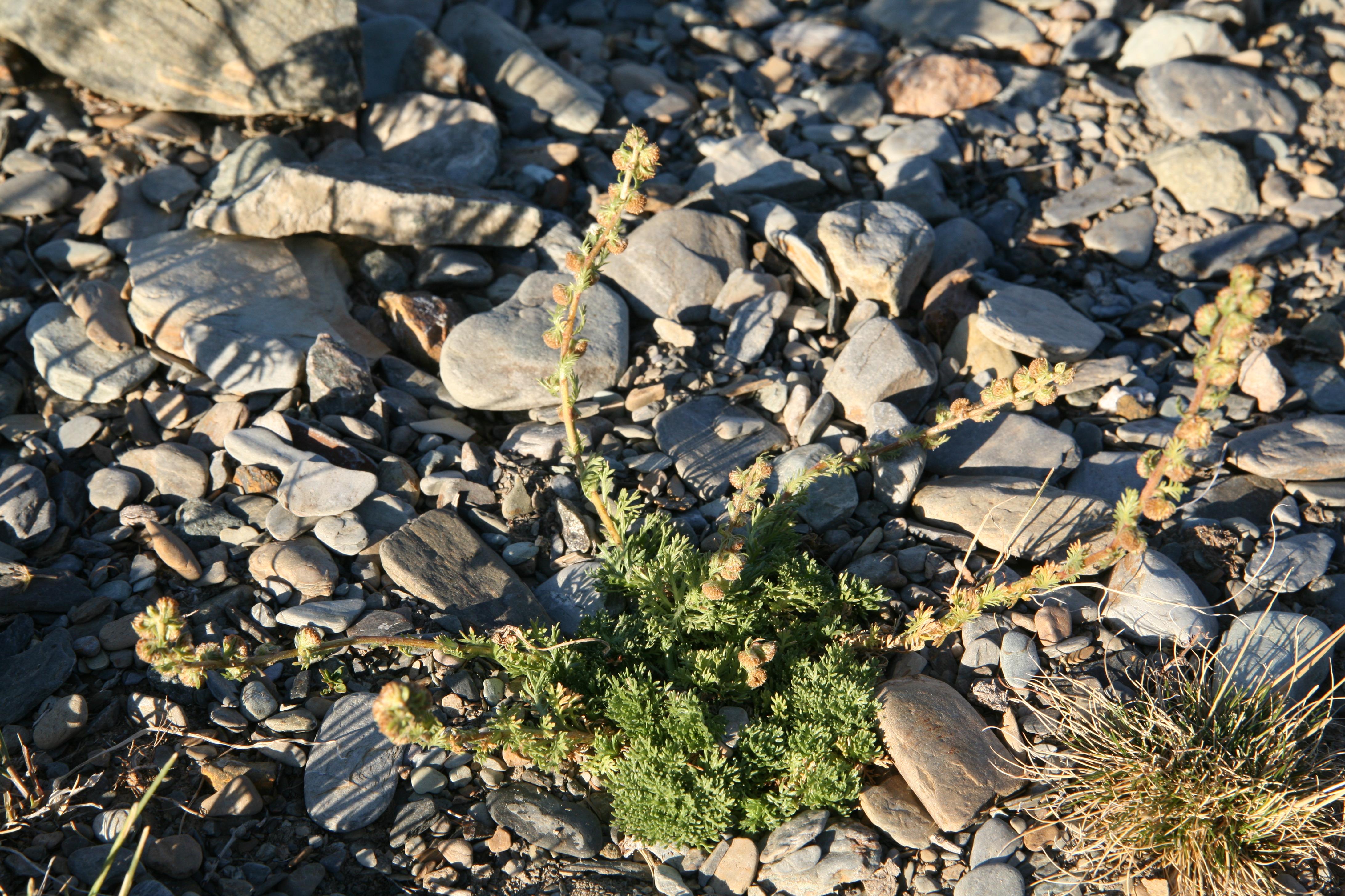 view image: Artemisia rupestris L.
