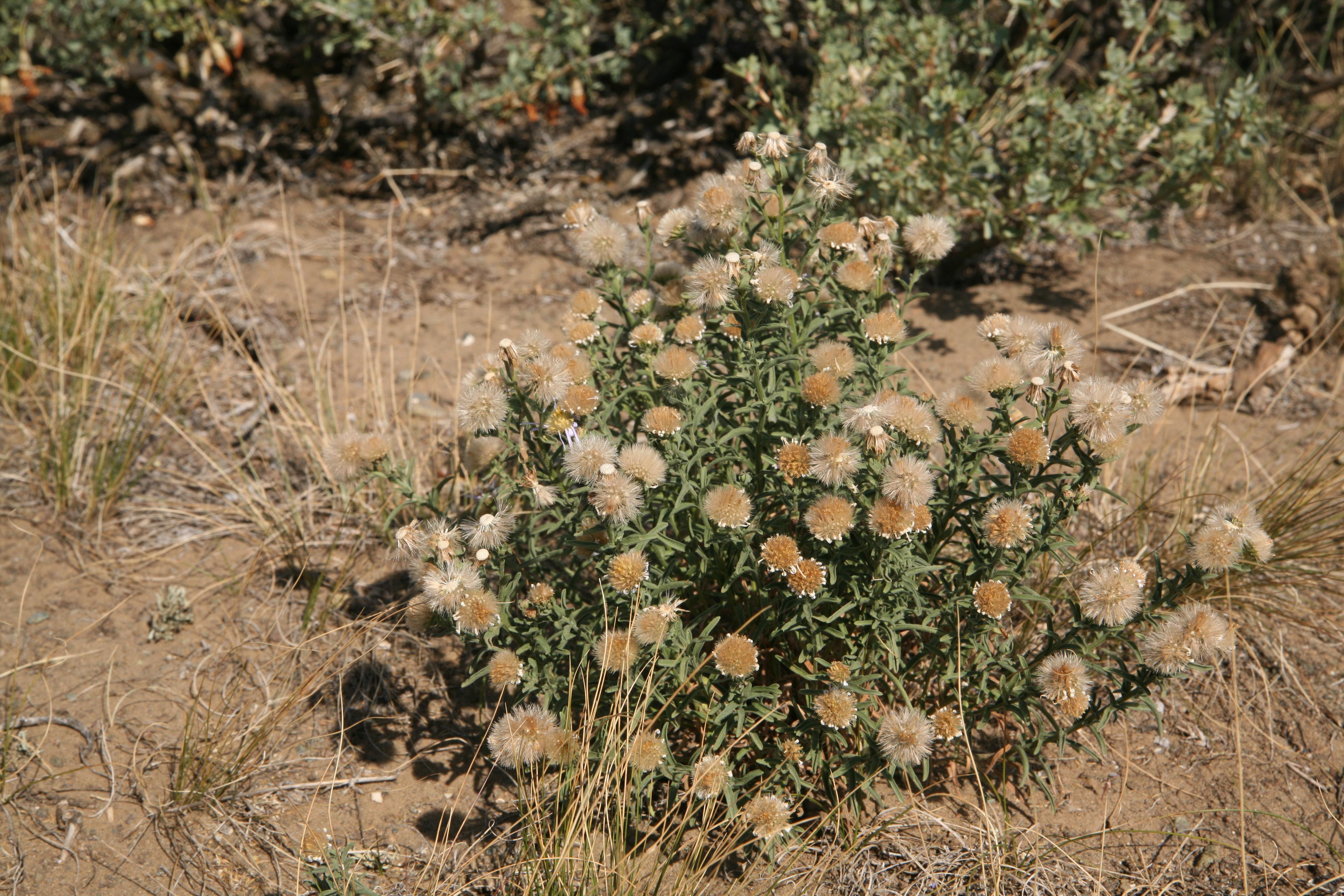 view image: Heteropappus biennis (Ledeb.) Tamamsch. ex Grub.