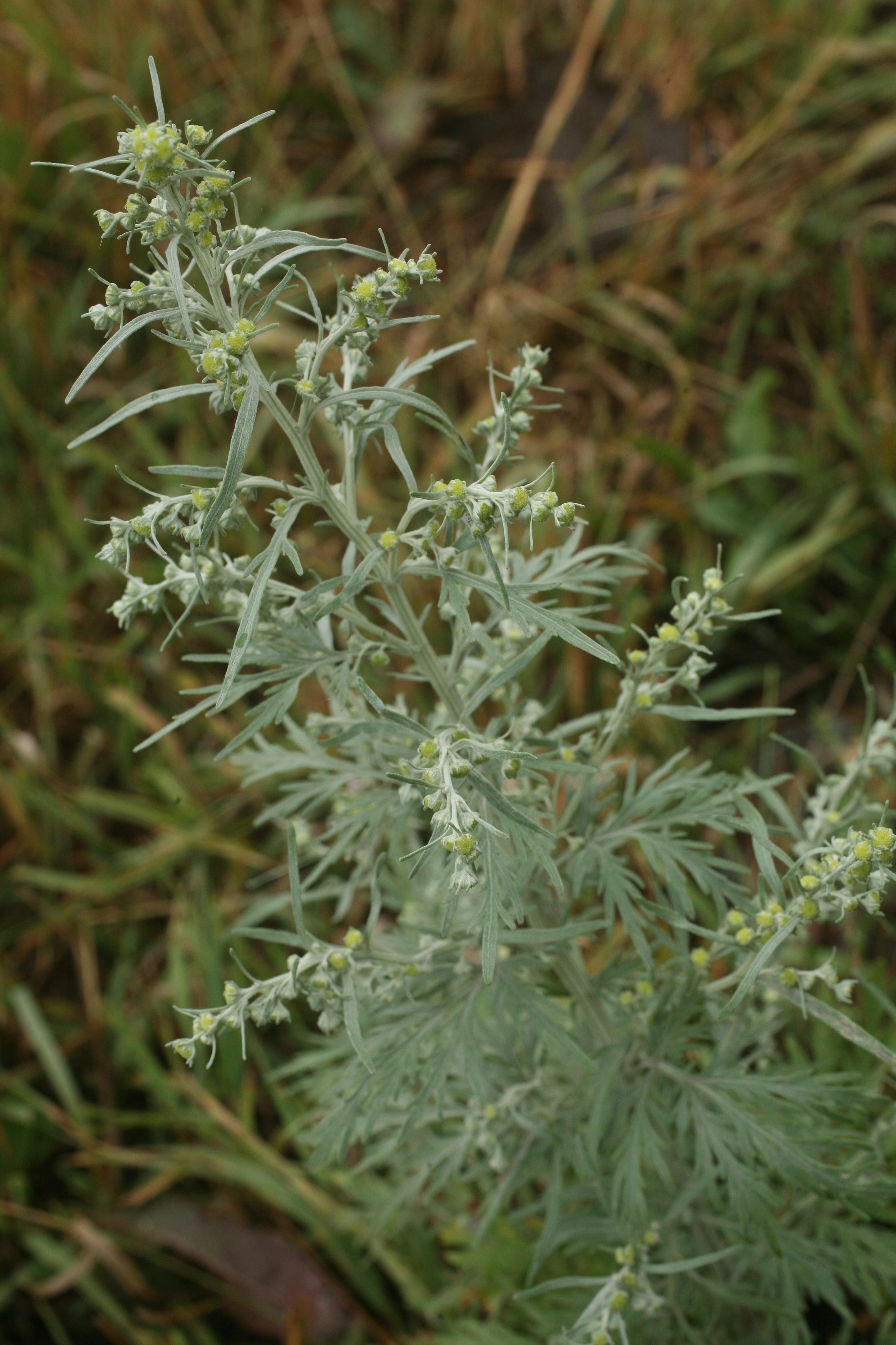 view image: Artemisia sieversiana Willd.