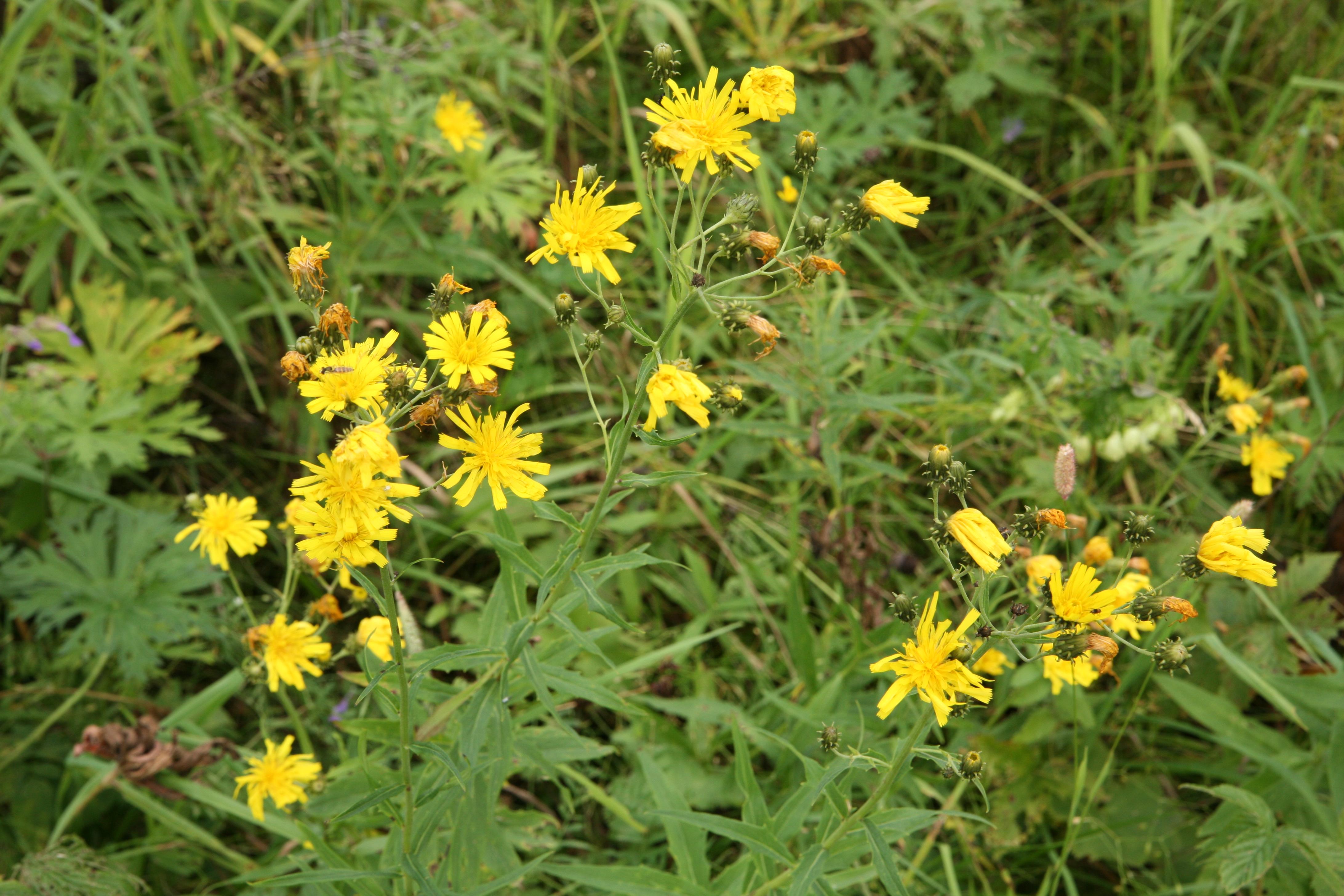 view image: Hieracium umbellatum L.