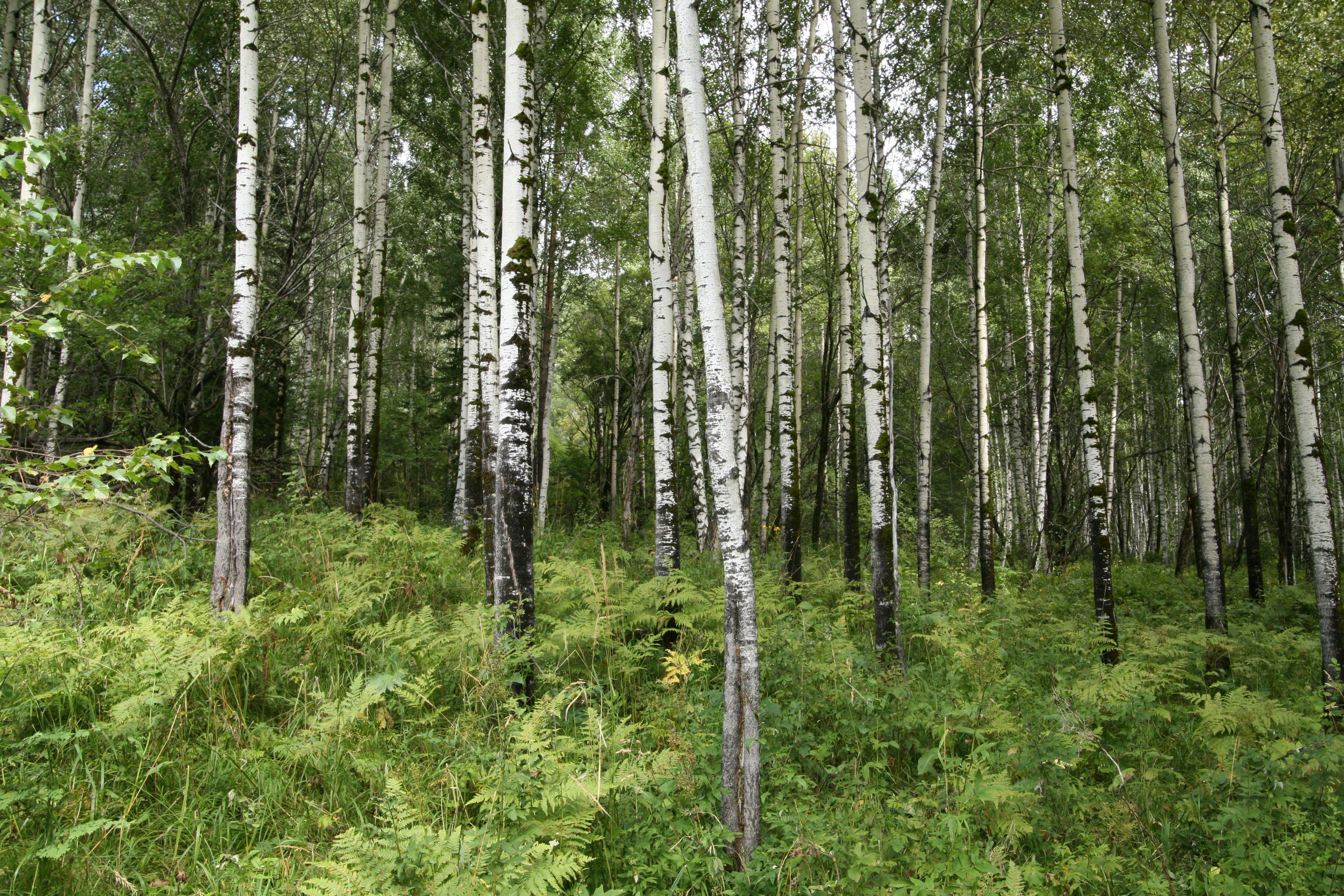 view image: Populus tremula L.