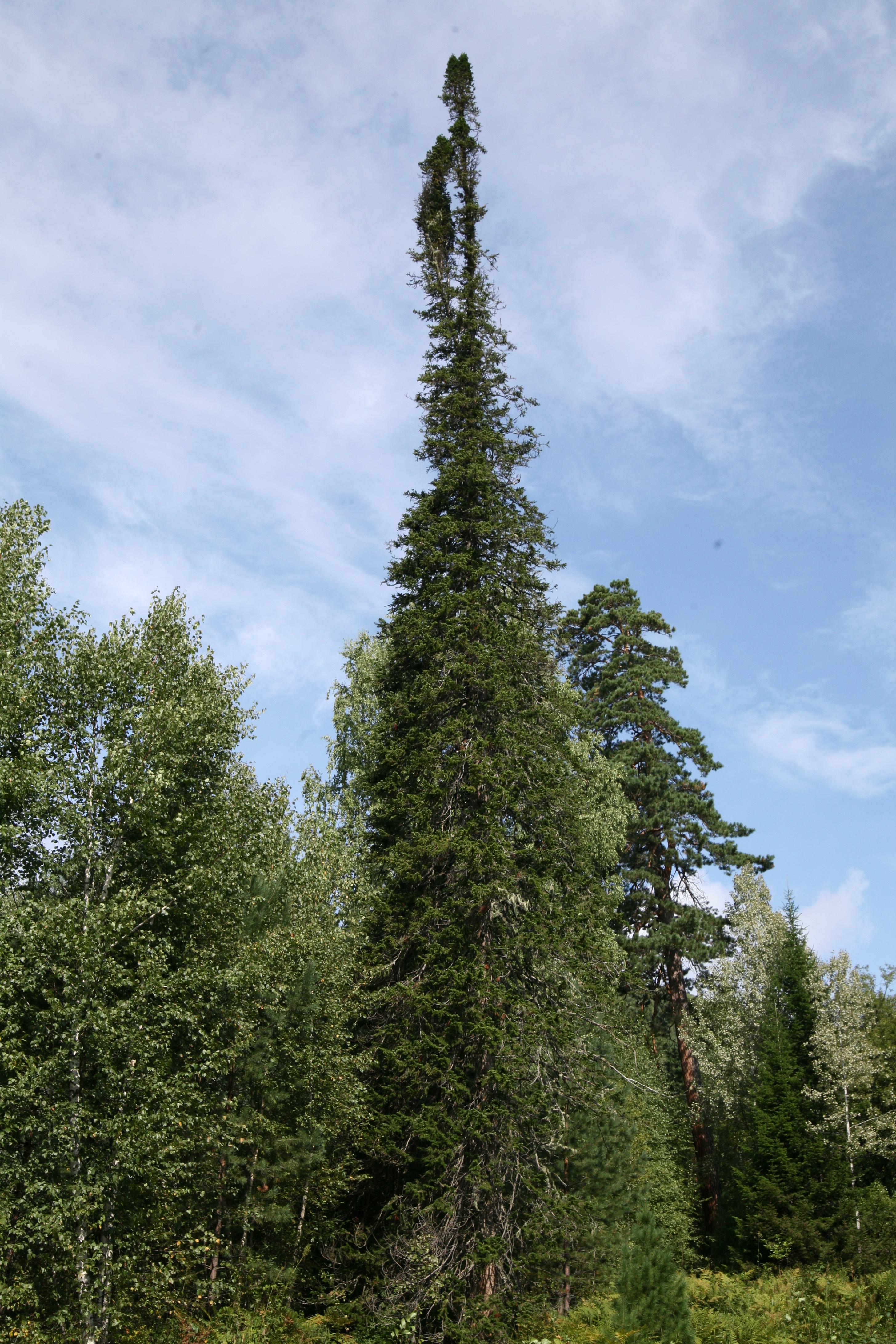 view image: Abies sibirica Ledeb.