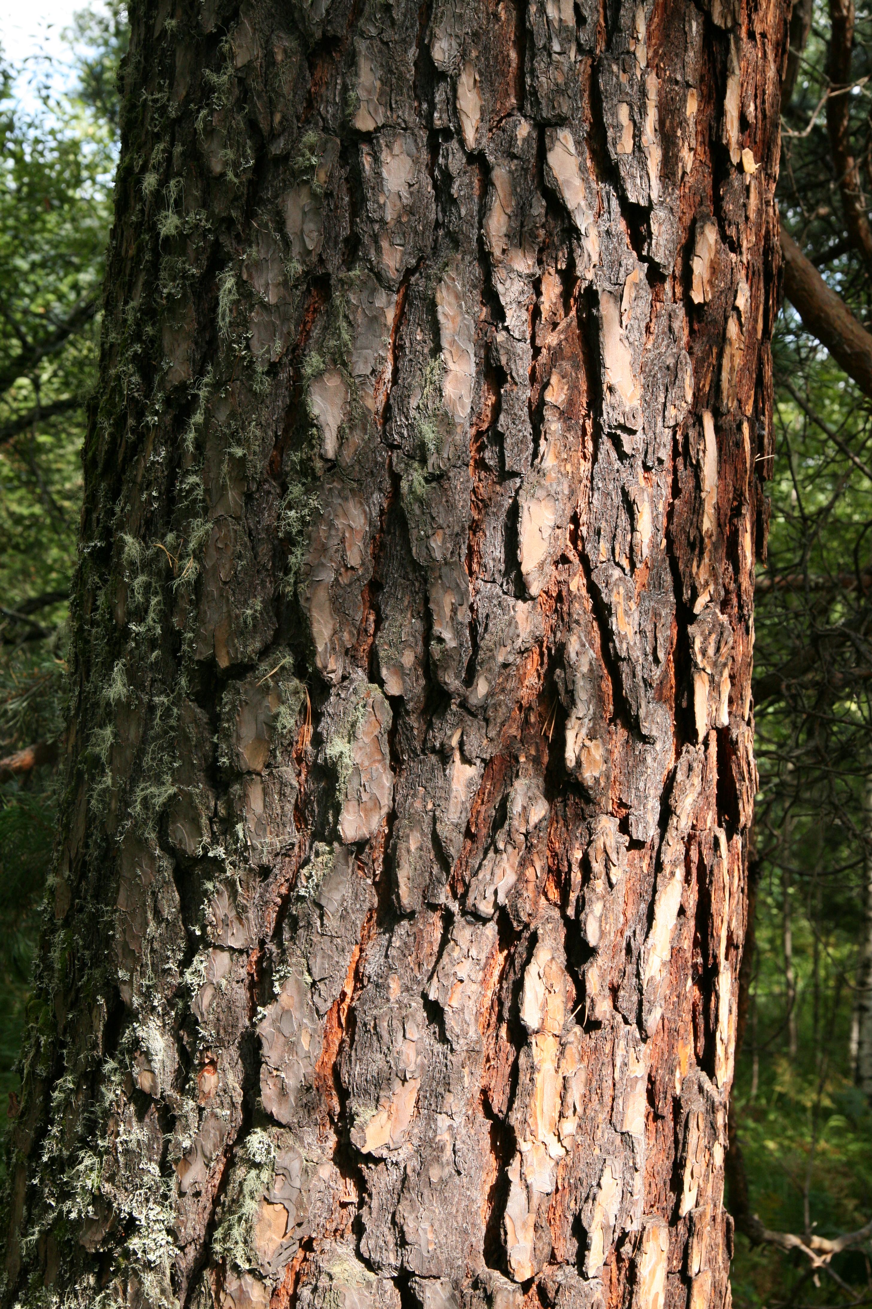 view image: Pinus sylvestris L.