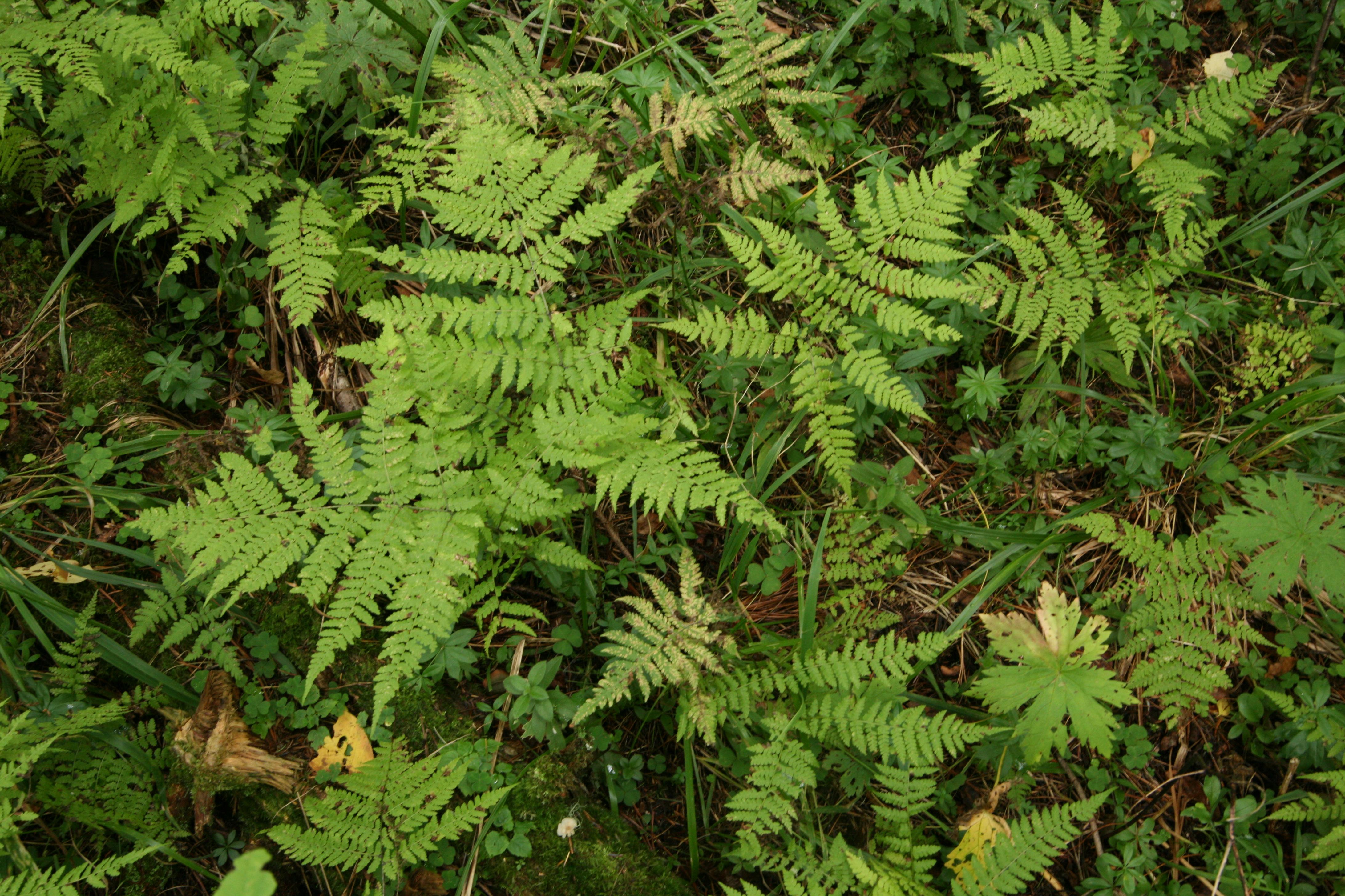 view image: Diplazium sibiricum (Turcz. ex G. Kunze) Kurata