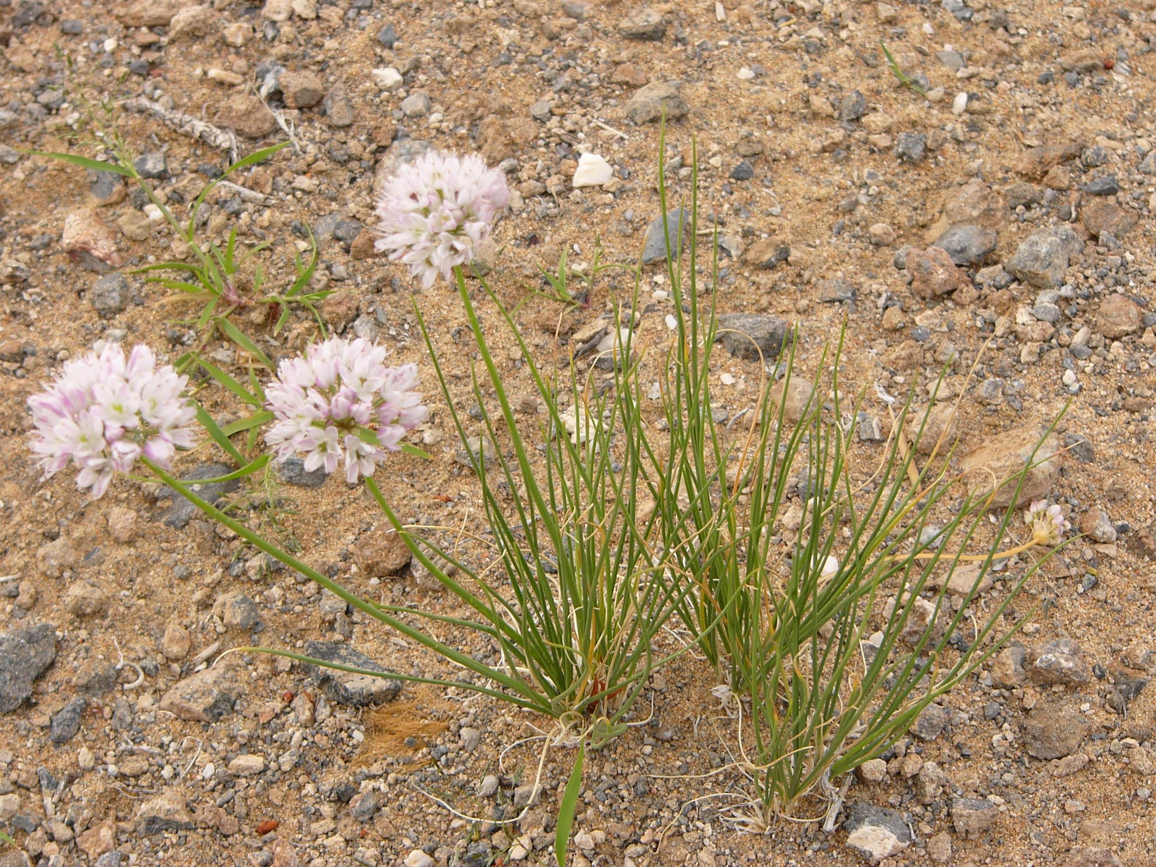 view image: Allium polyrrhizum Turcz. ex Regel