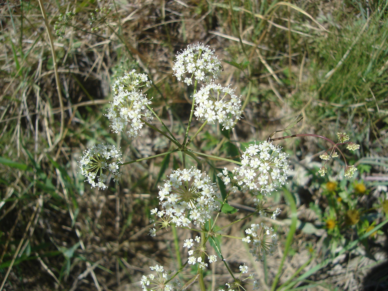view image: Cicuta virosa L.