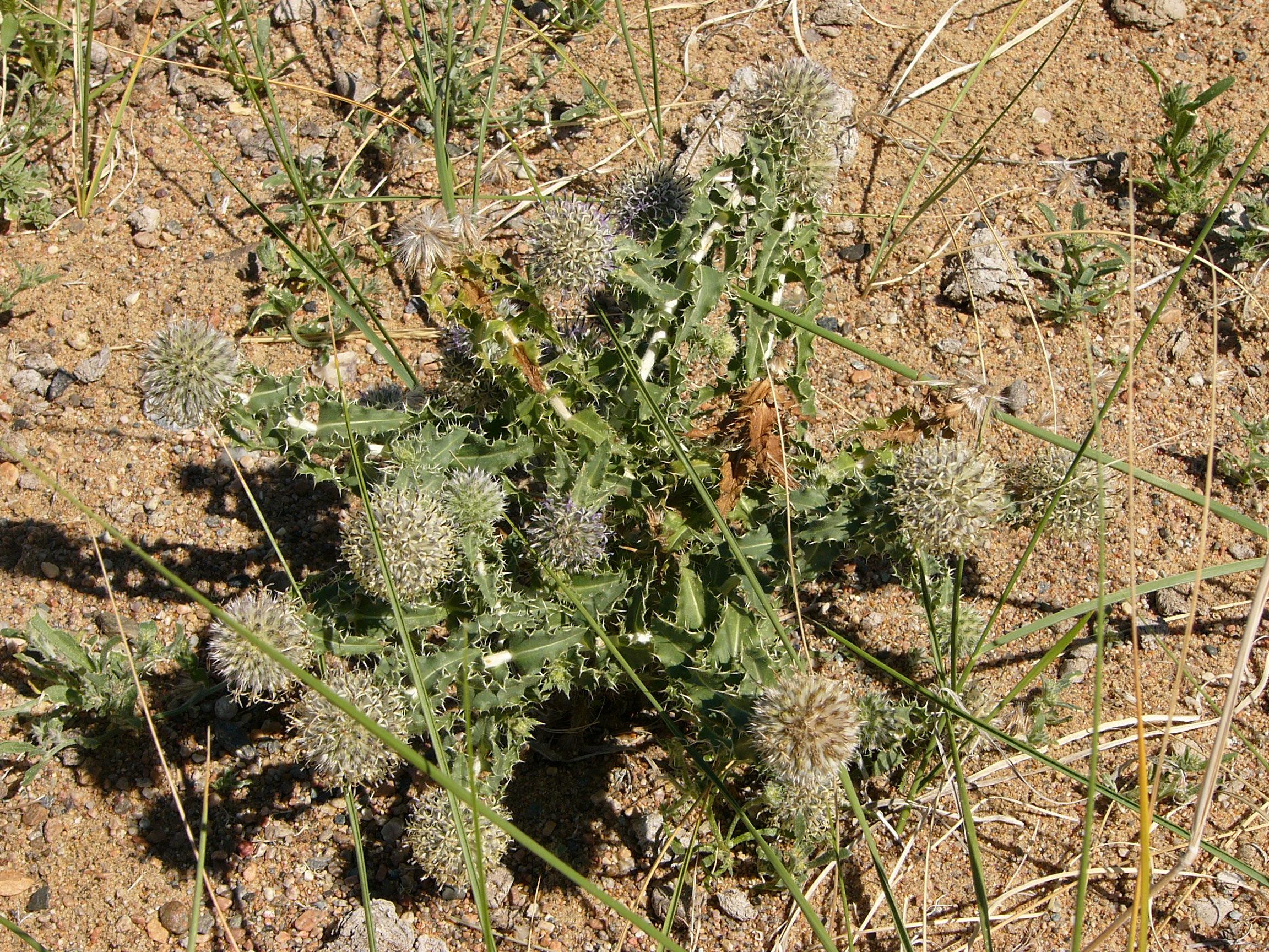 view image: Echinops gmelinii Turcz.
