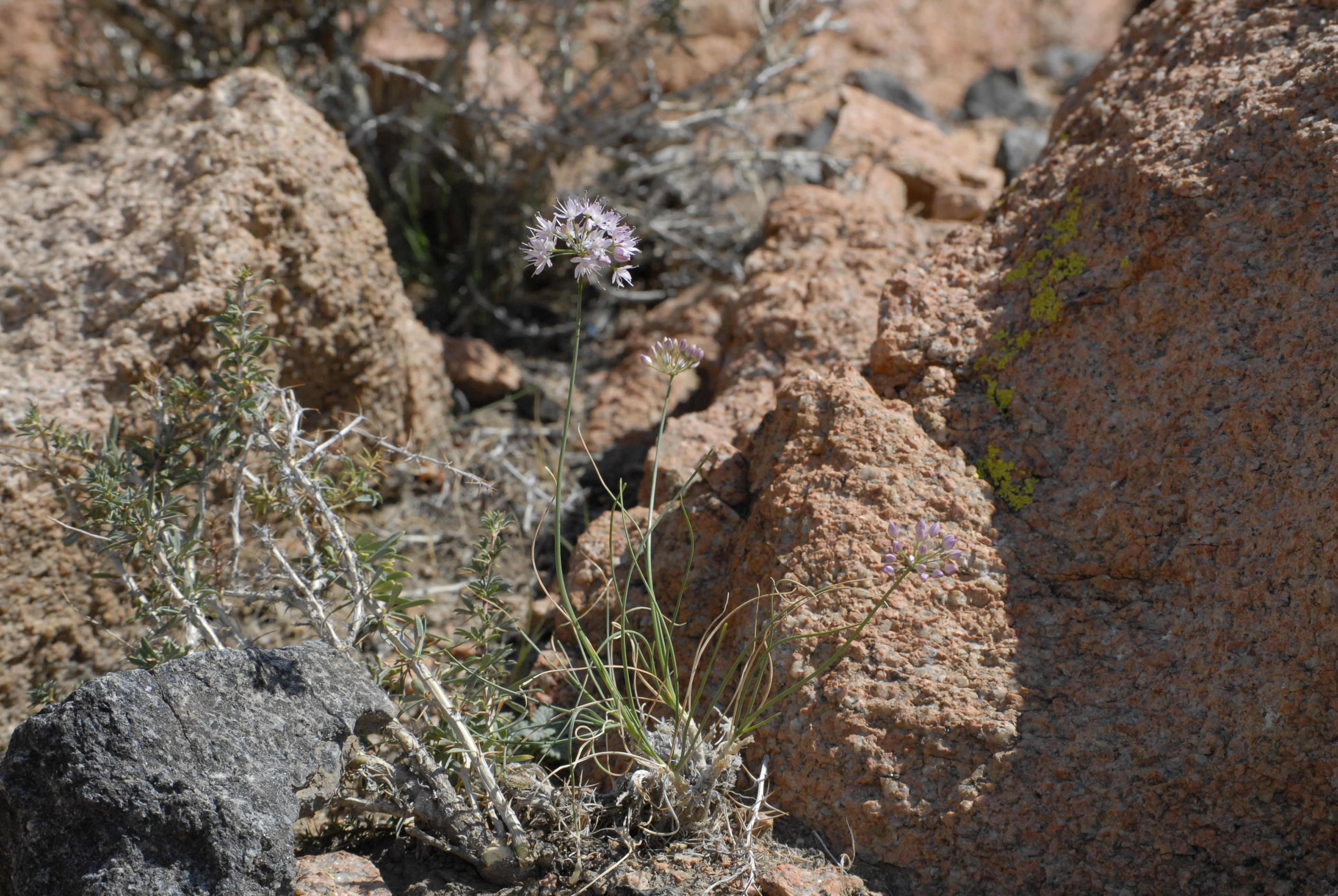 view image: Allium eduardii Stearn