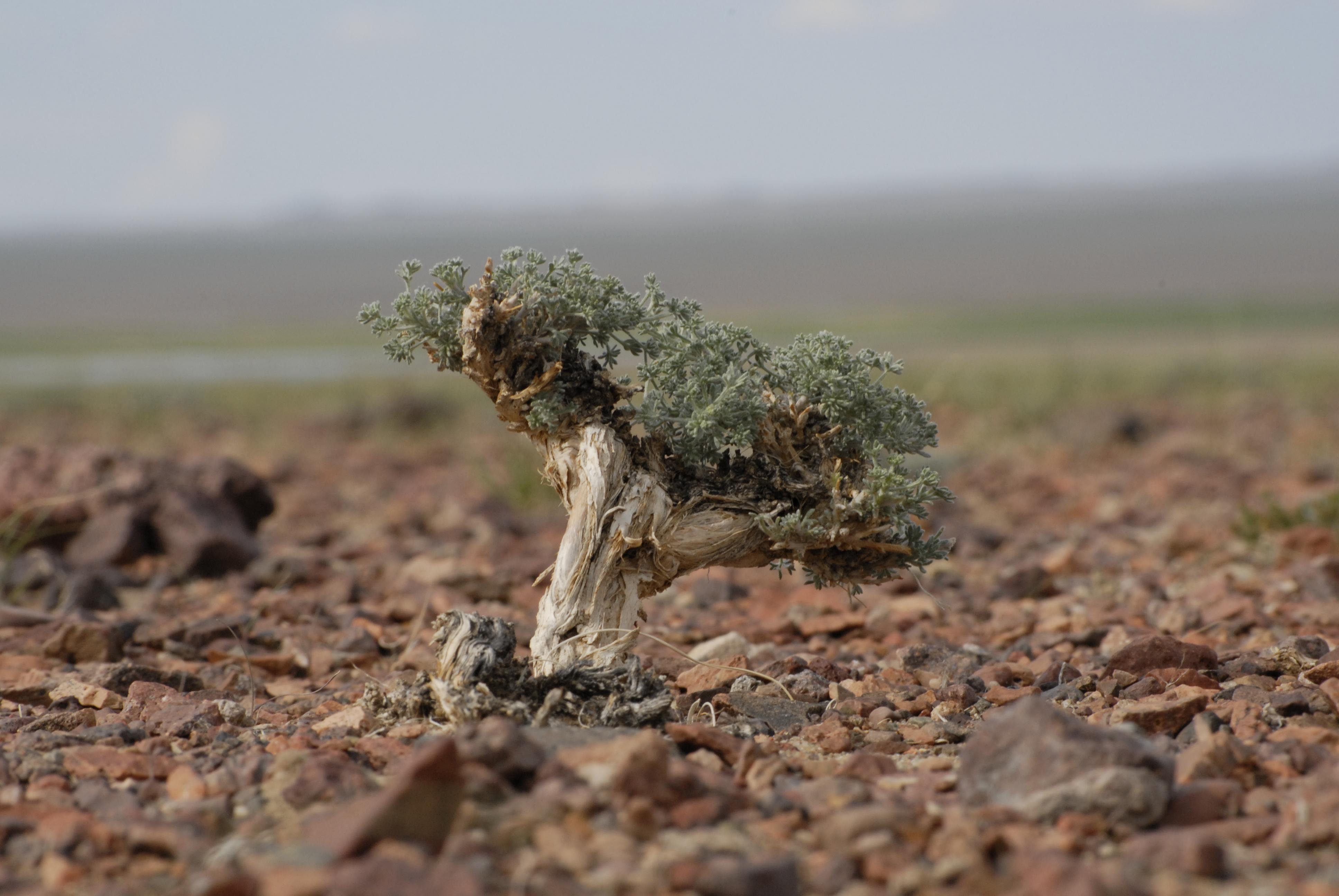 view image: Artemisia xerophytica Krasch.