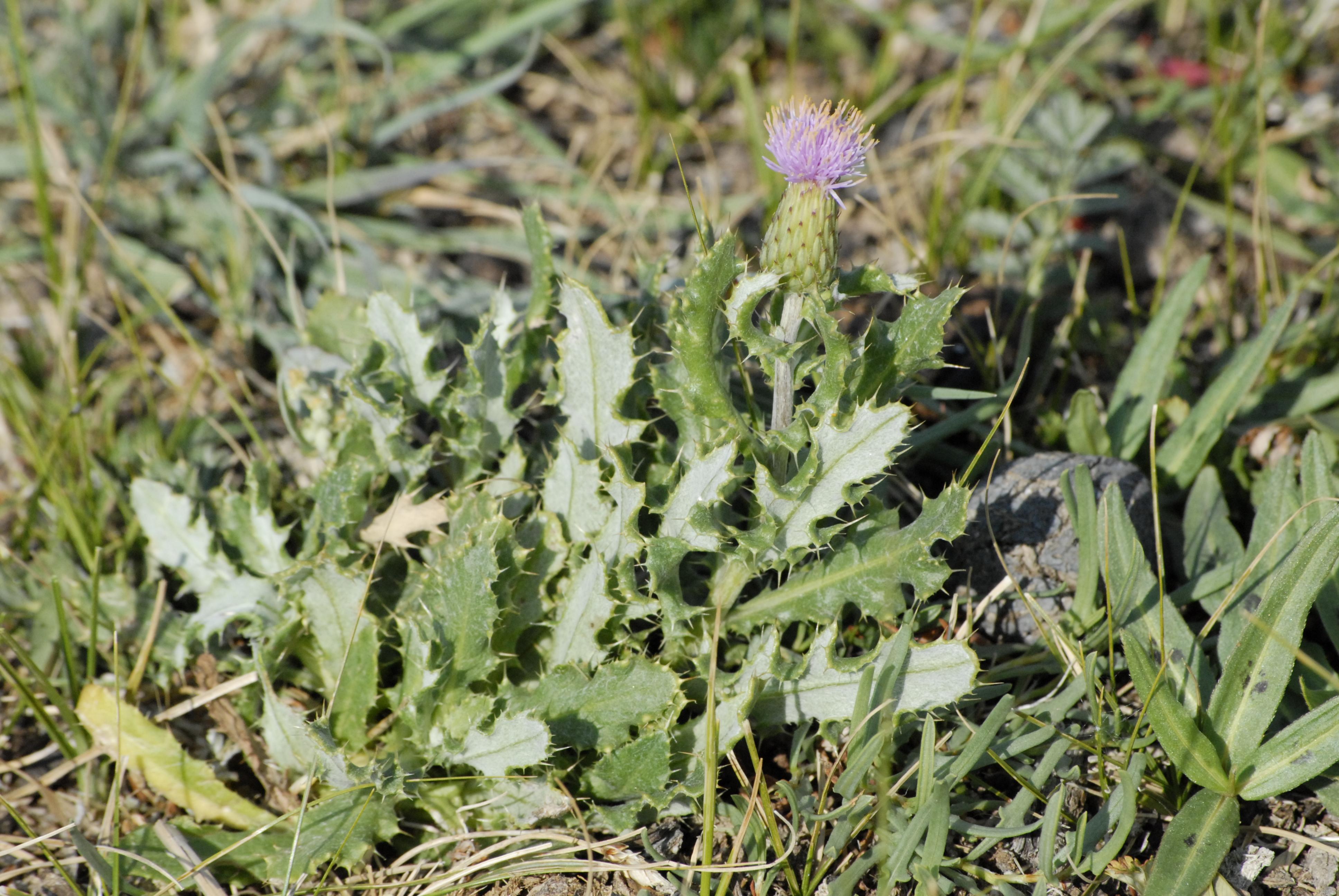 view image: Cirsium setosum (Willd.) Bess.