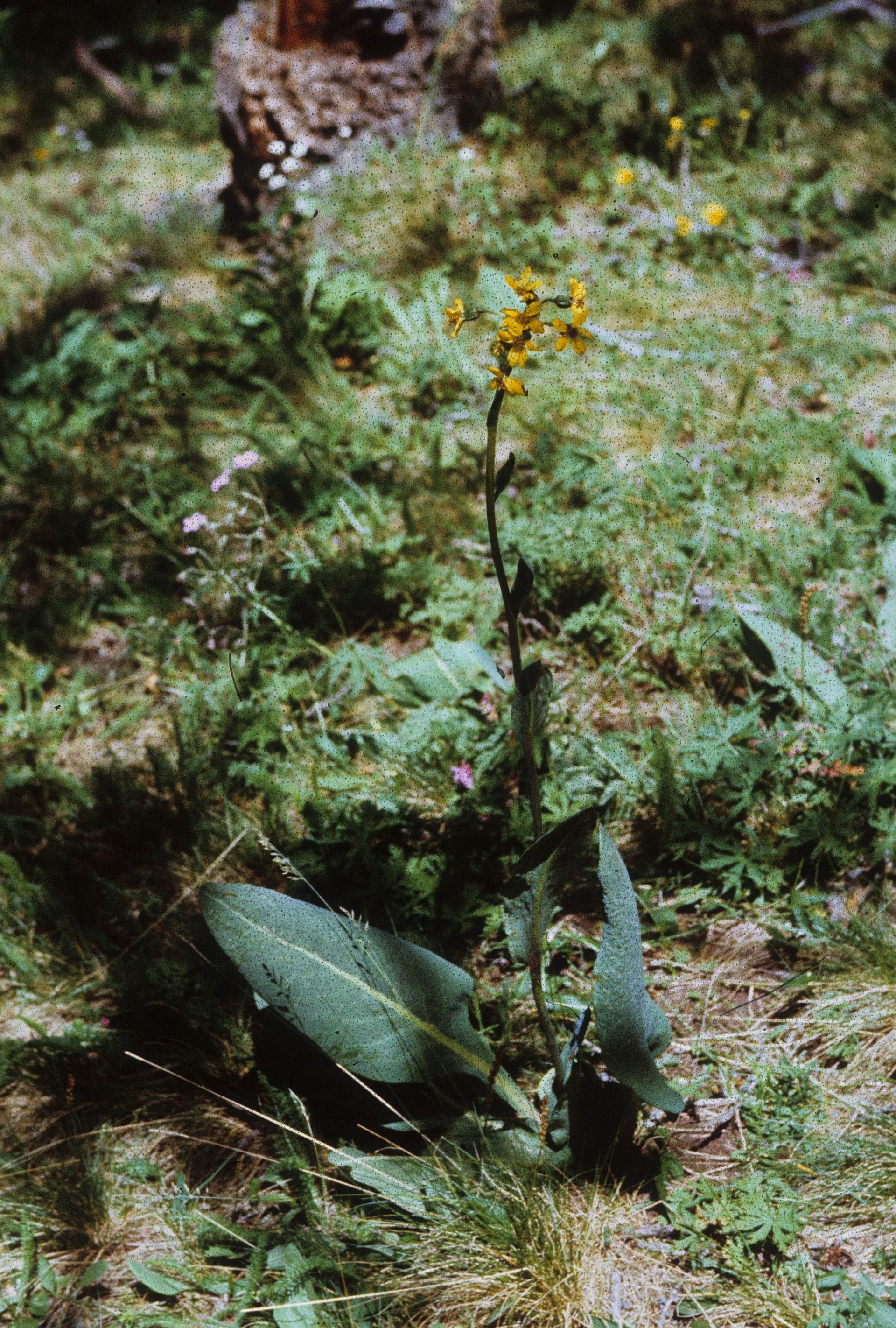 view image: Ligularia altaica DC.