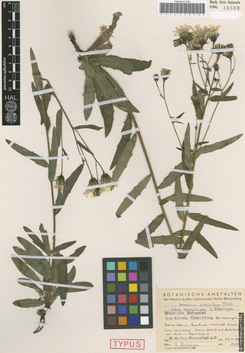 view image: Hieracium crocatum
