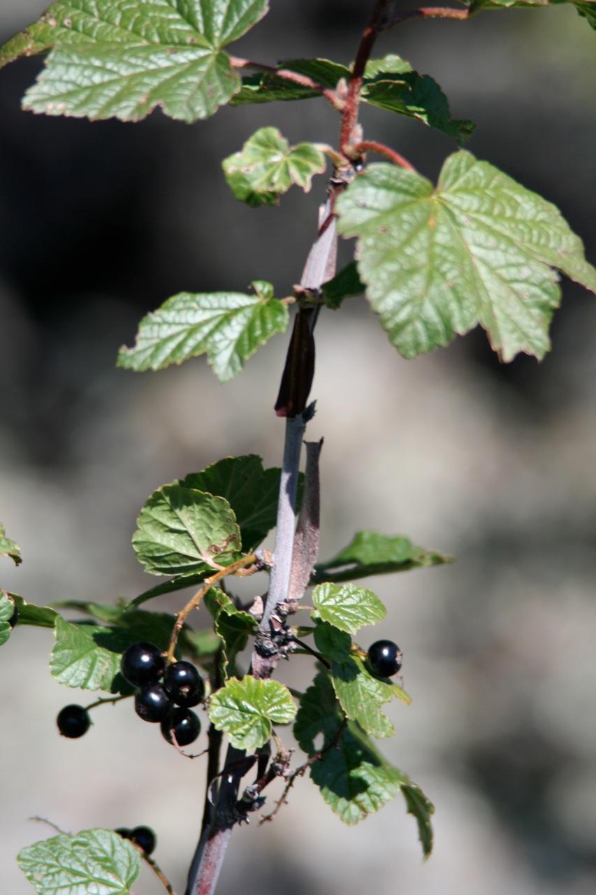 view image: Ribes nigrum L.