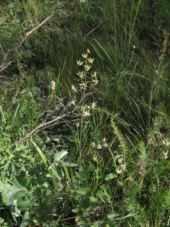view image: Zigadenus sibiricus (L.) A. Gray