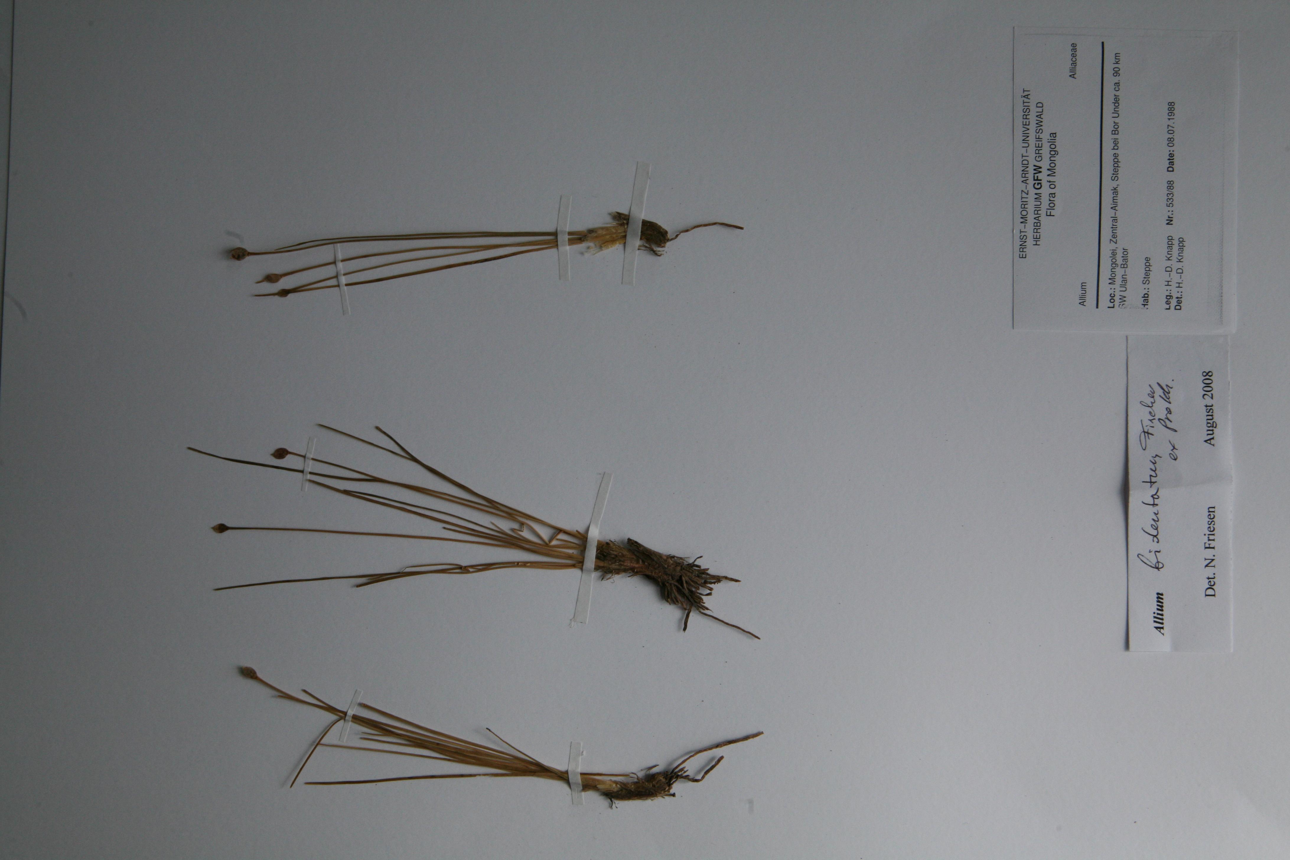 view image: Allium bidentatum Fisch. ex Prokh.