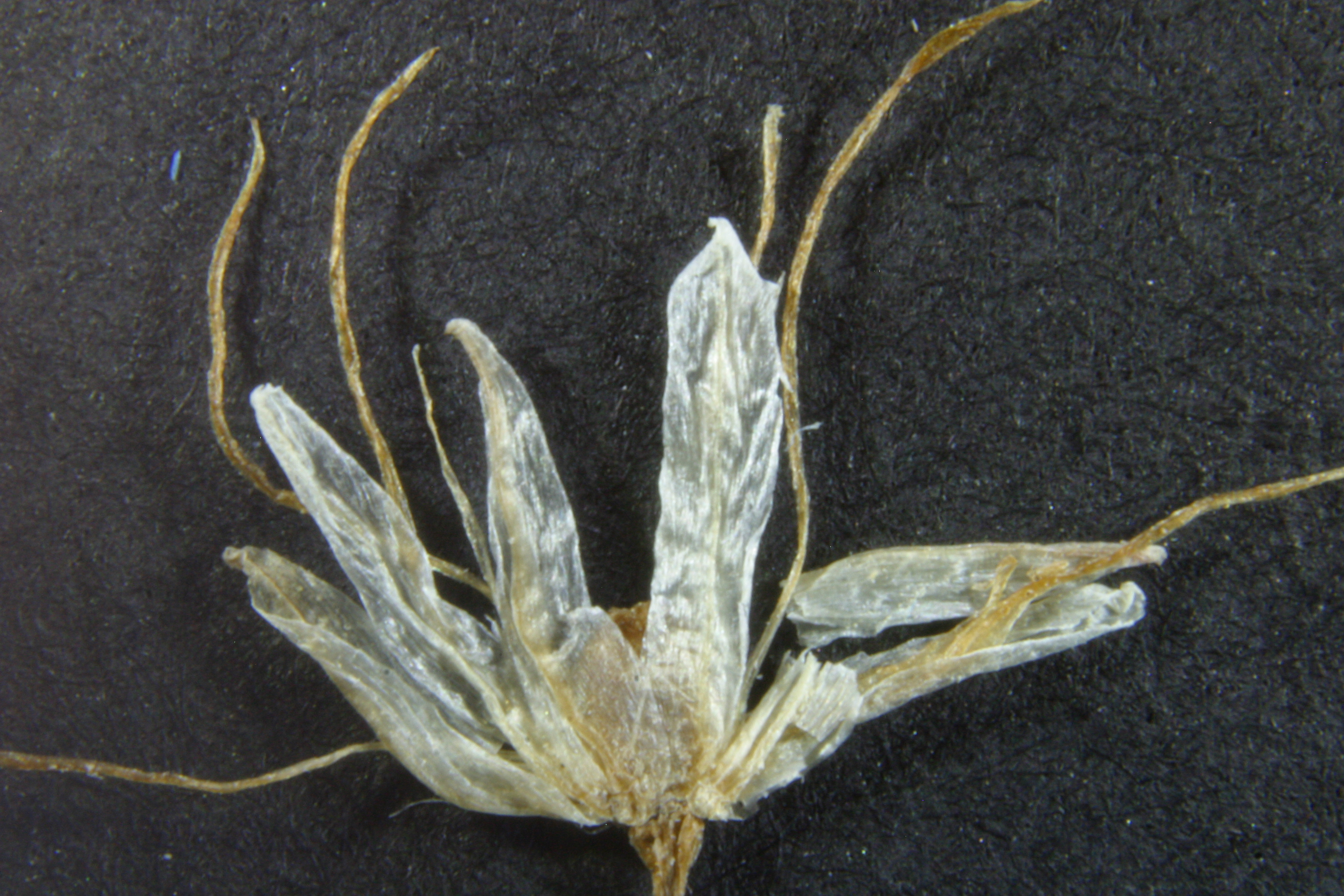 view image: Allium leucocephalum Turcz. ex Ledeb.
