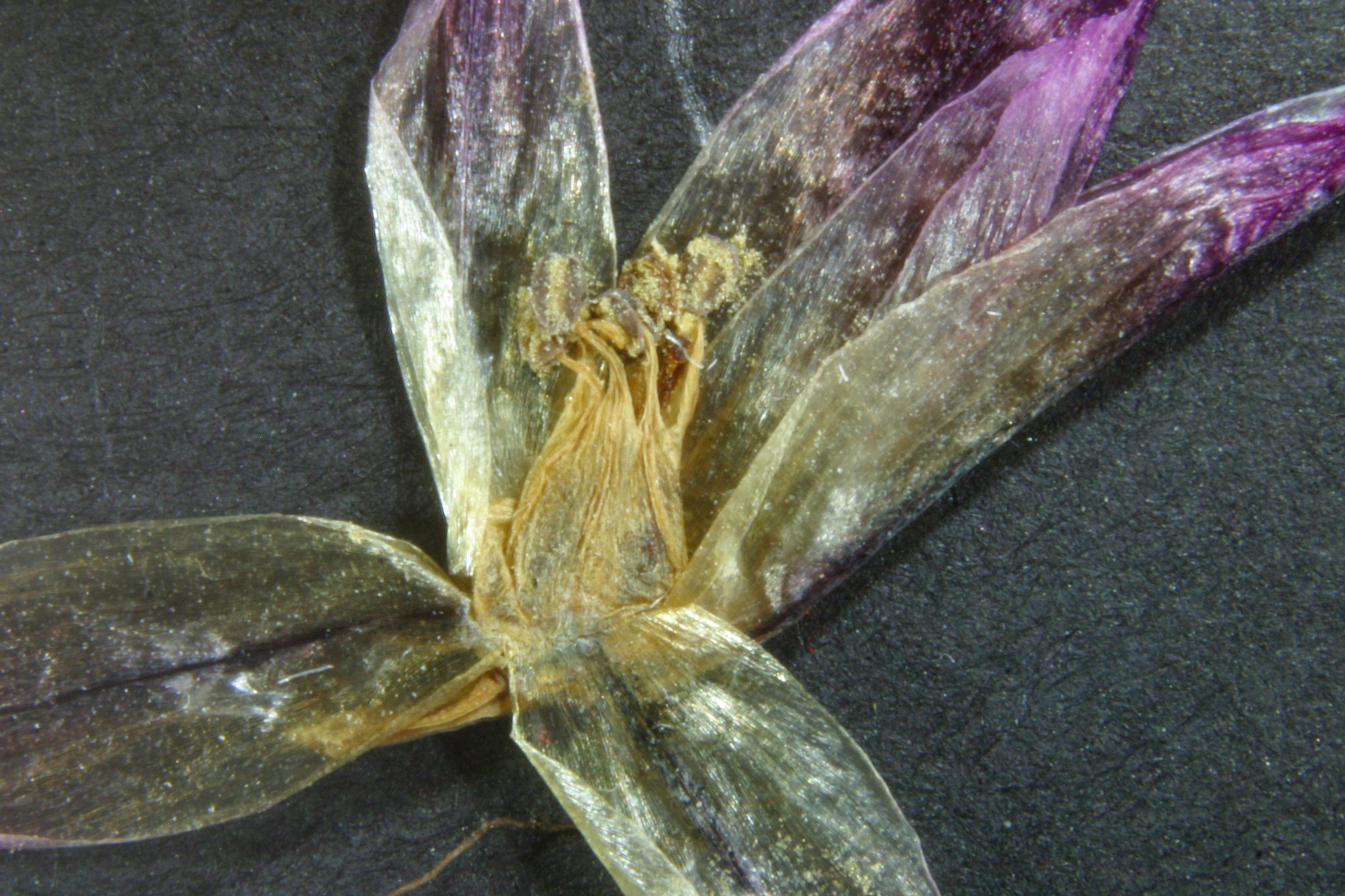 view image: Allium monadelphum Less. ex Kunth