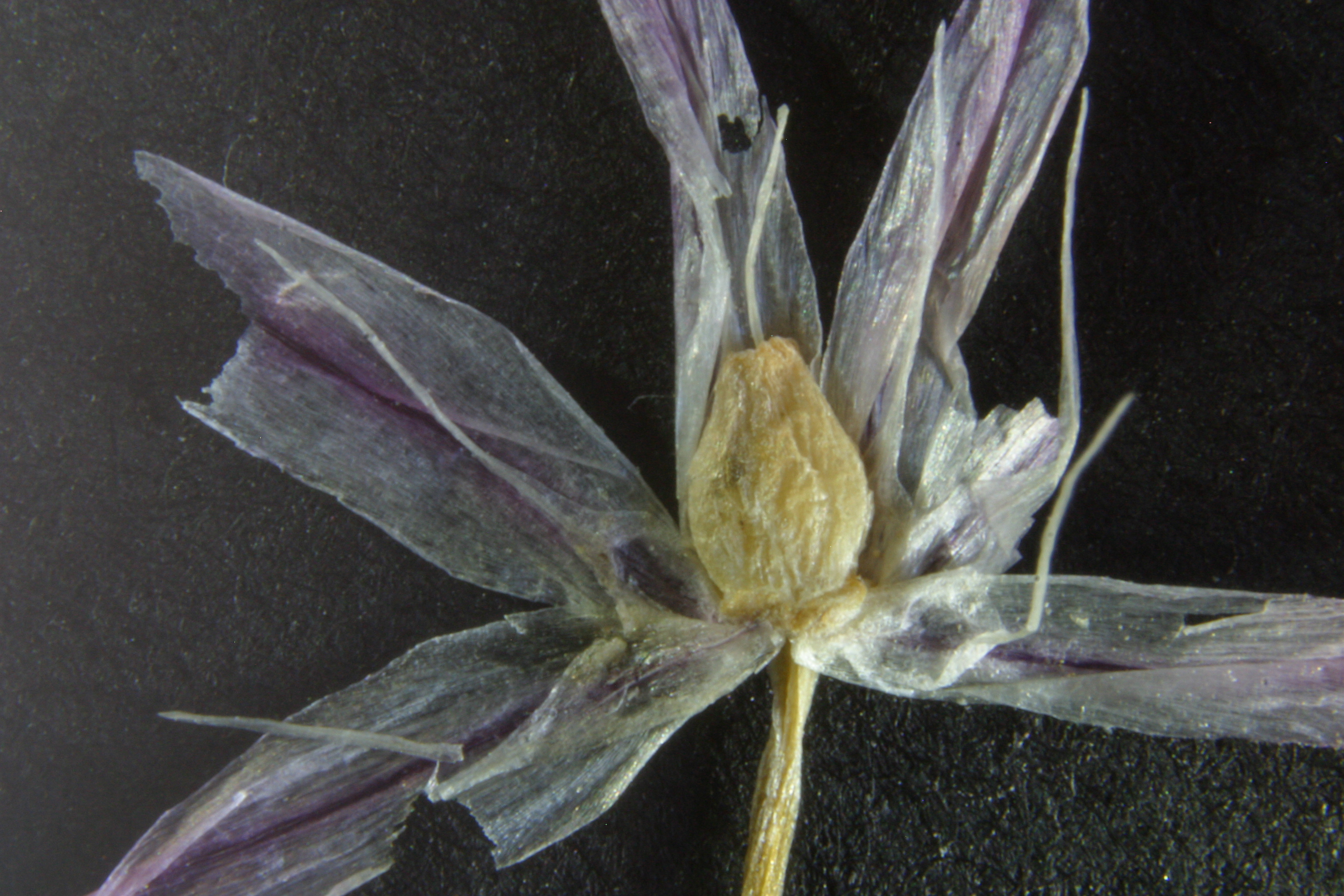 view image: Allium oliganthum Kar. et Kir.