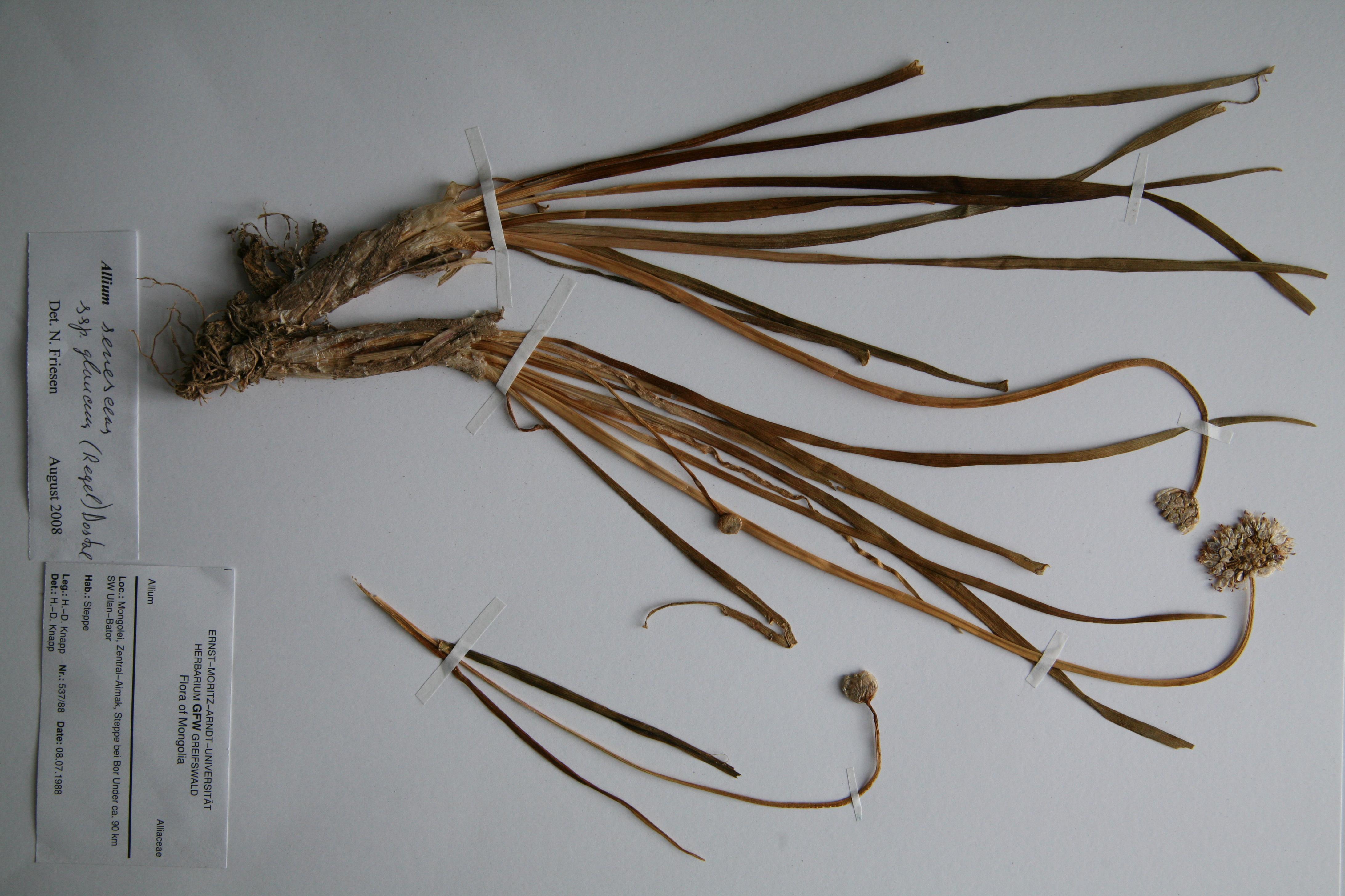 view image: Allium senescens L.