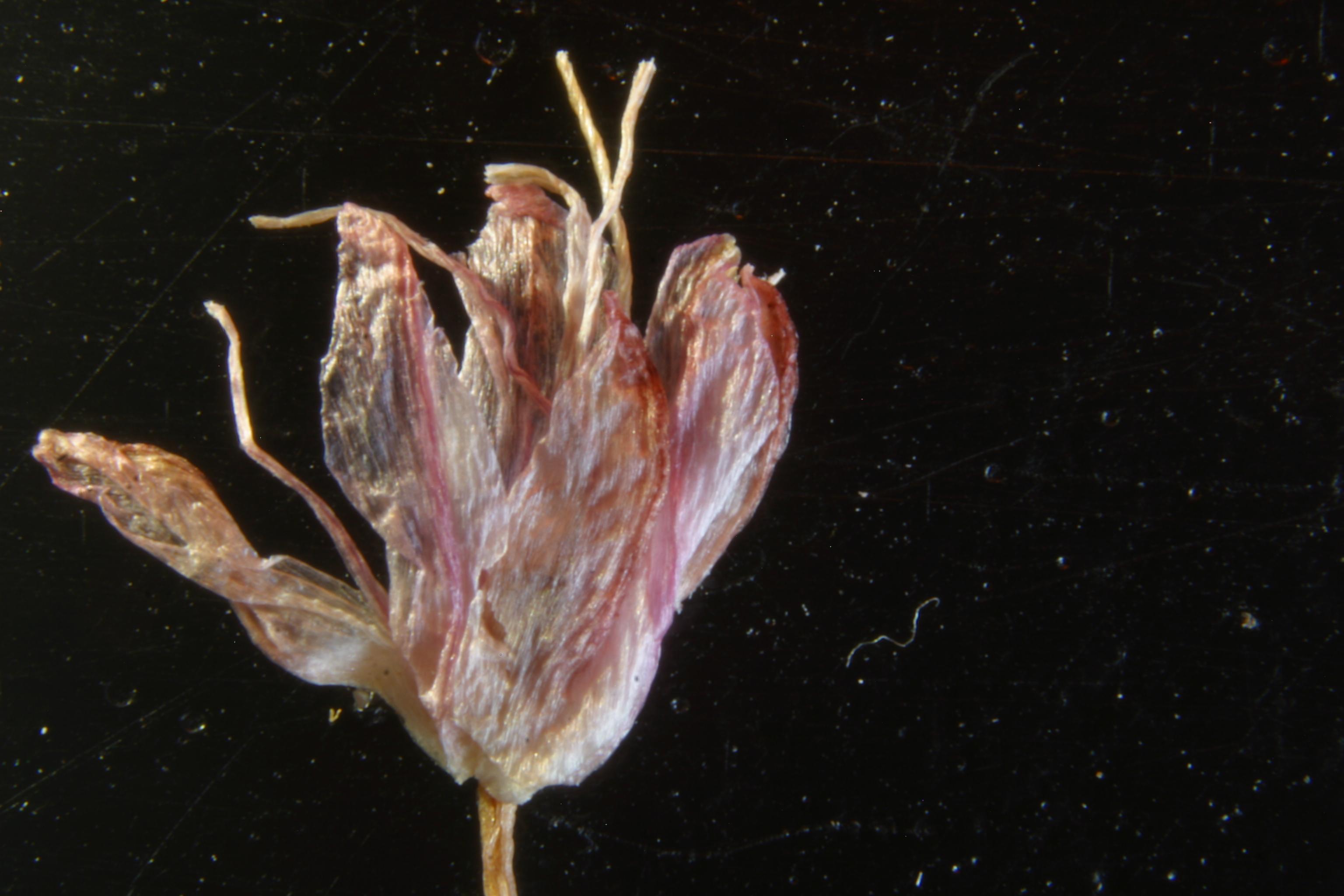 view image: Allium splendens Willd. ex Schult. et Schult.fil.